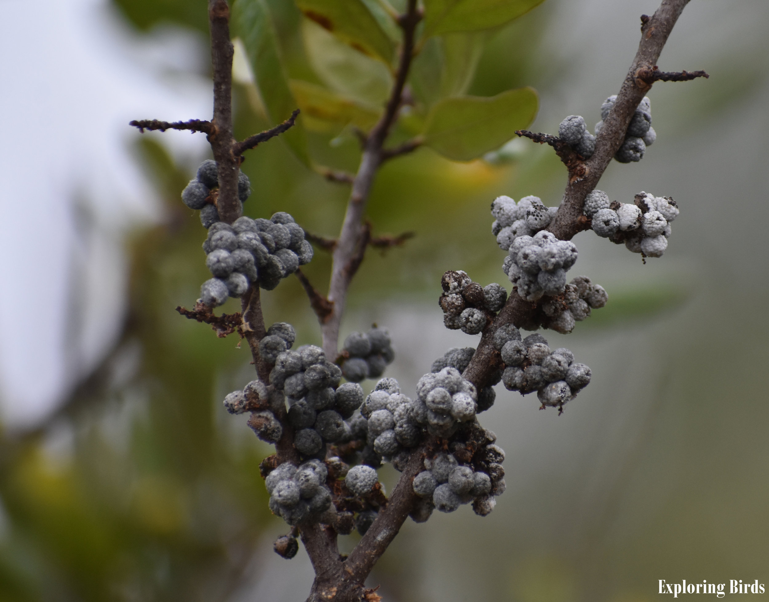 Northern Bayberry is a plant that attracts birds