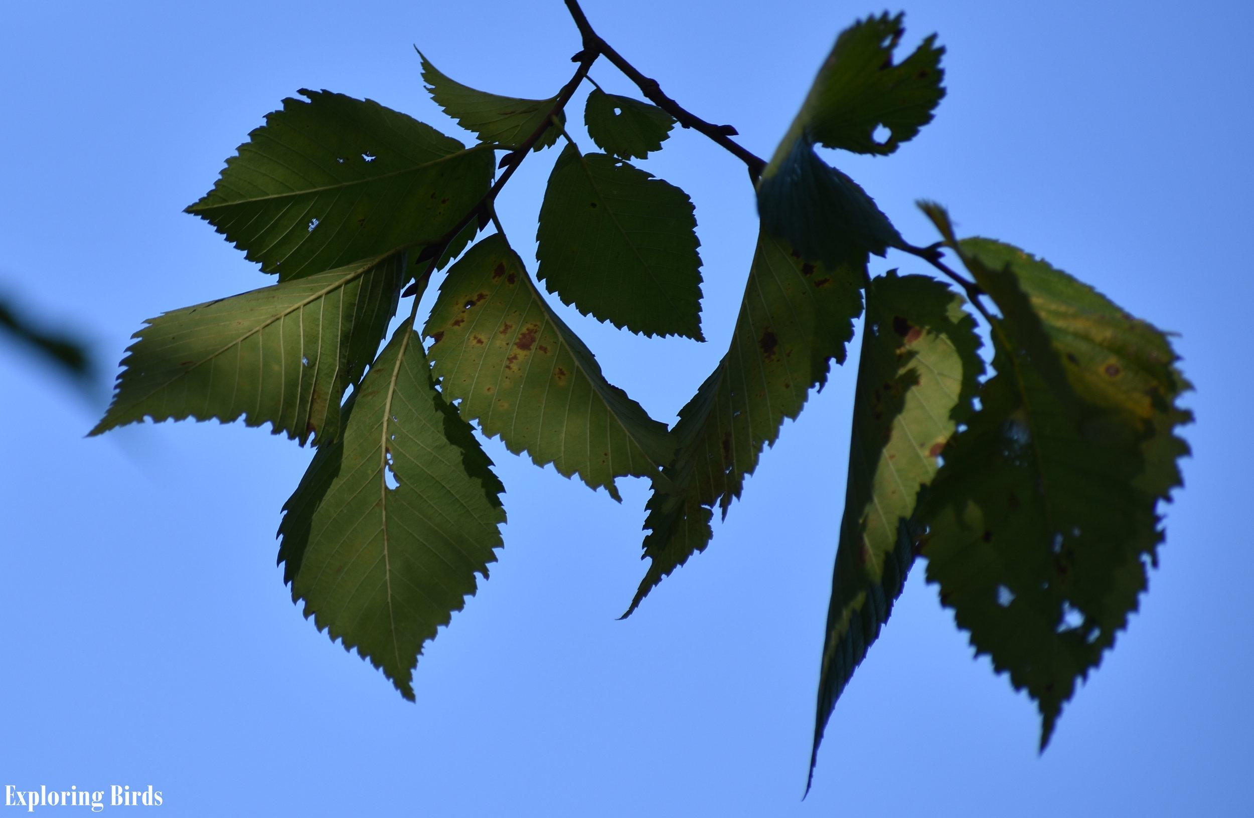 Elm trees attract birds