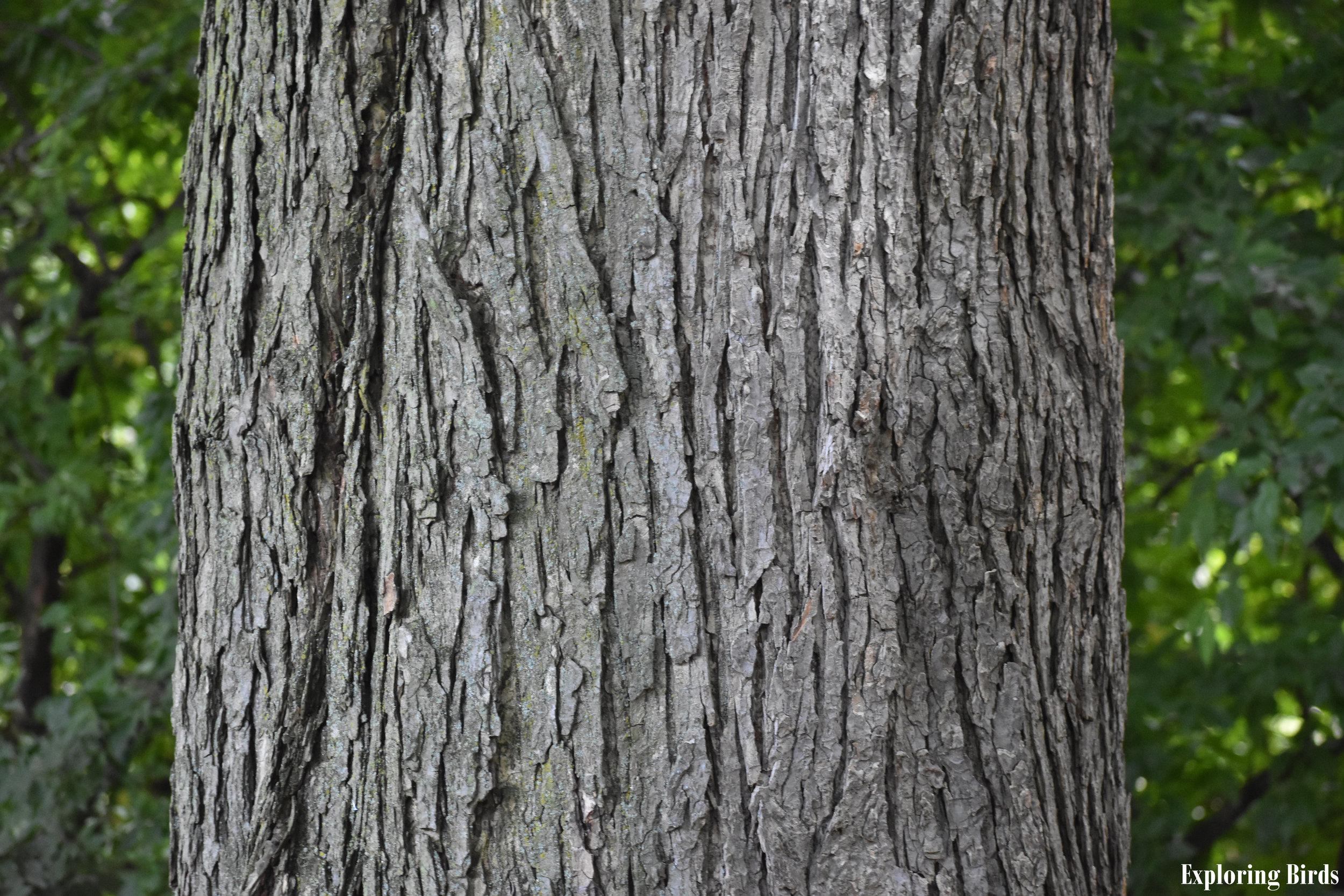 Elm Bark Identification