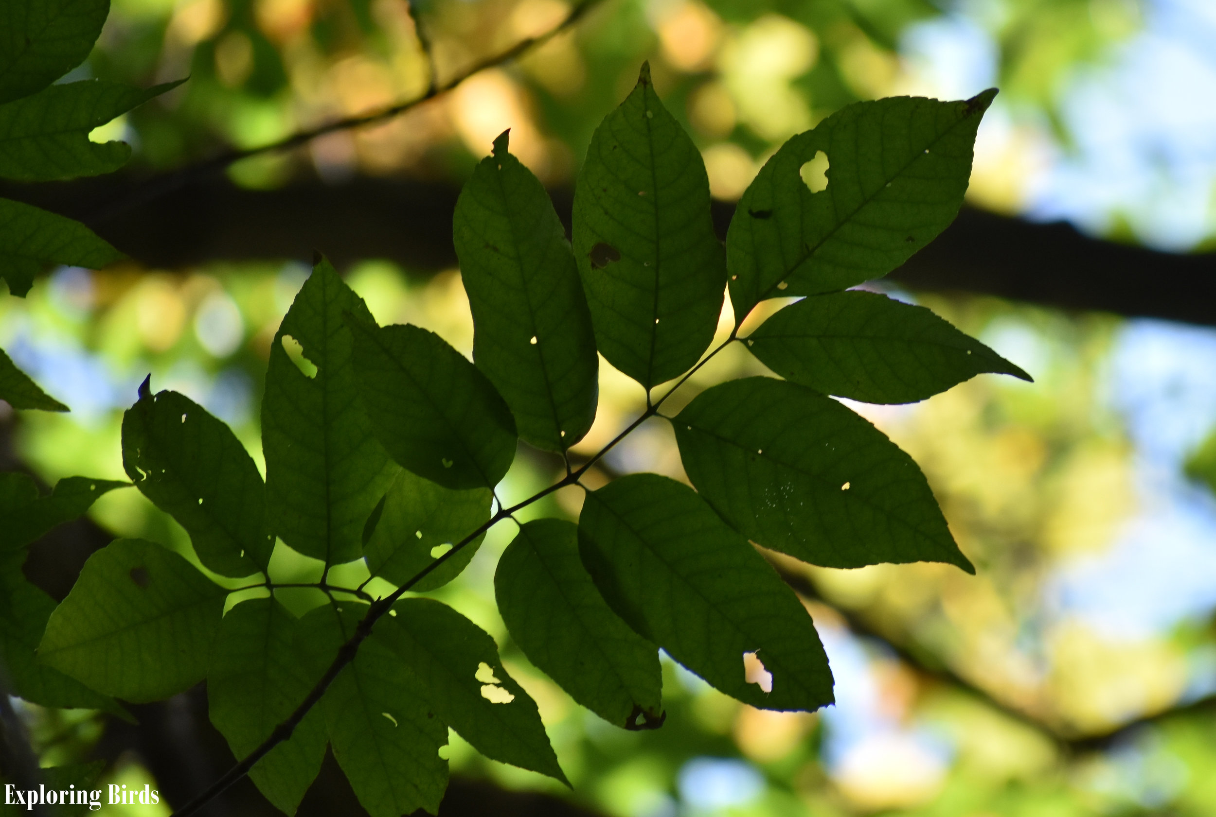 Ash Tree leaves identification