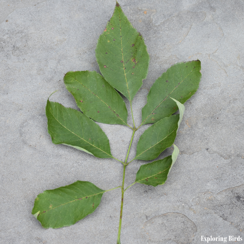 Ash Tree Leaf Stalk