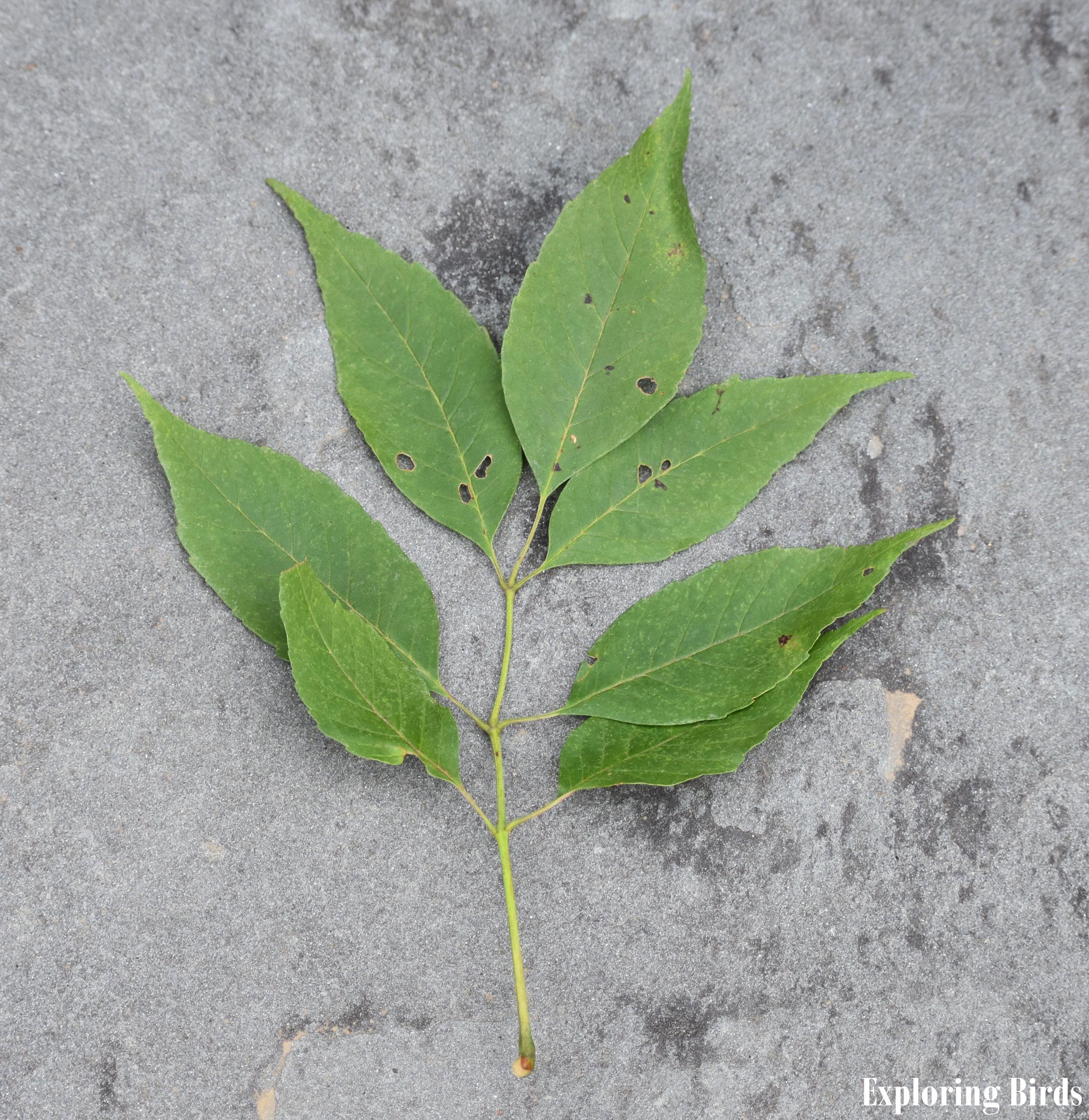 Ash Tree Leaf Stalk identification