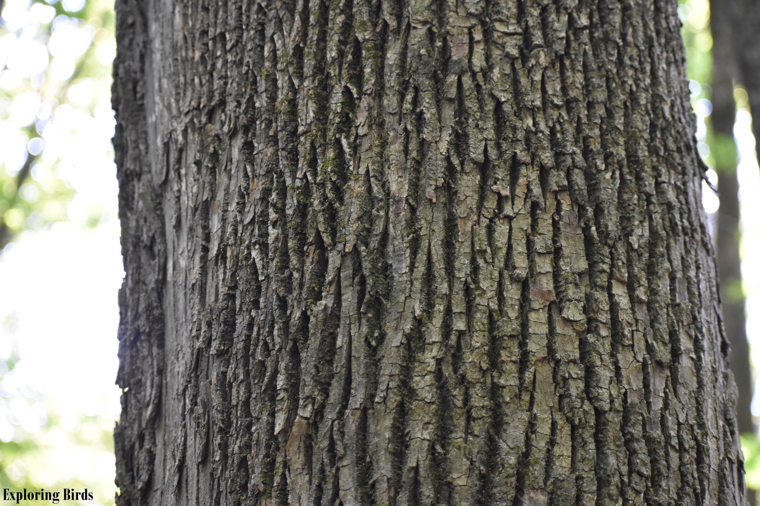 Ash Trees are often used by Woodpecker for nesting and food