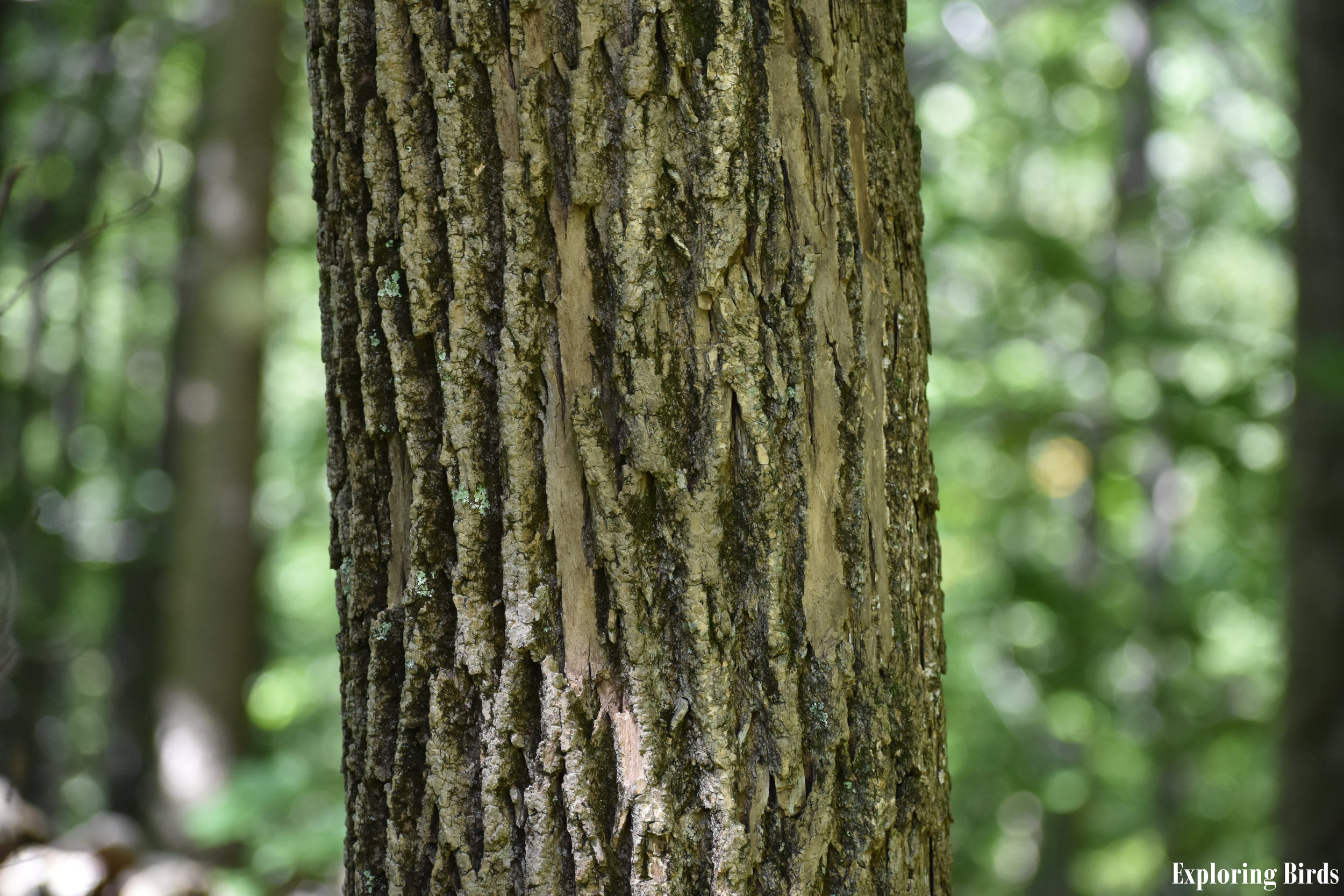 Ash trees attracts Pileated Woodpecker