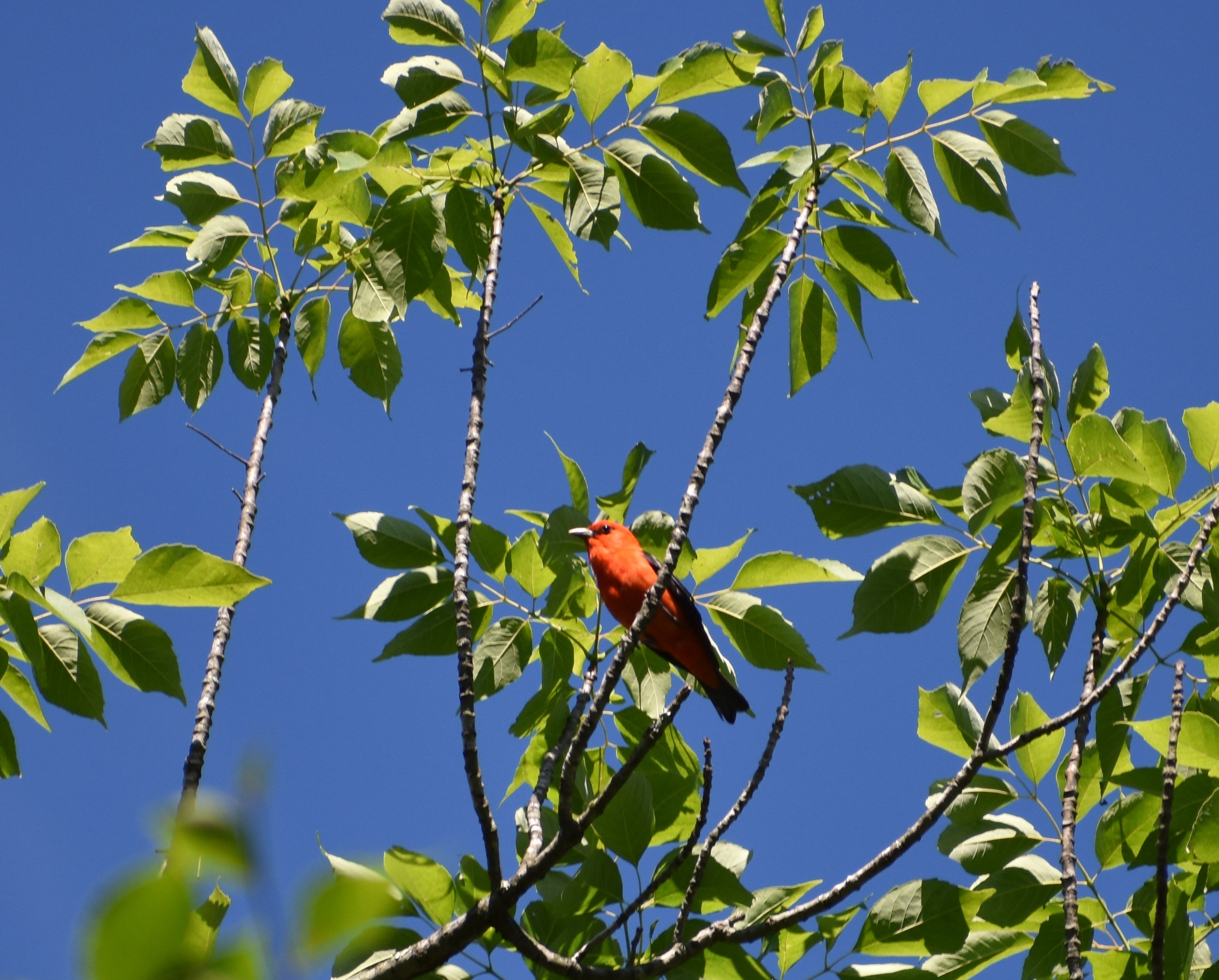 Scarlet Tanager in Ash