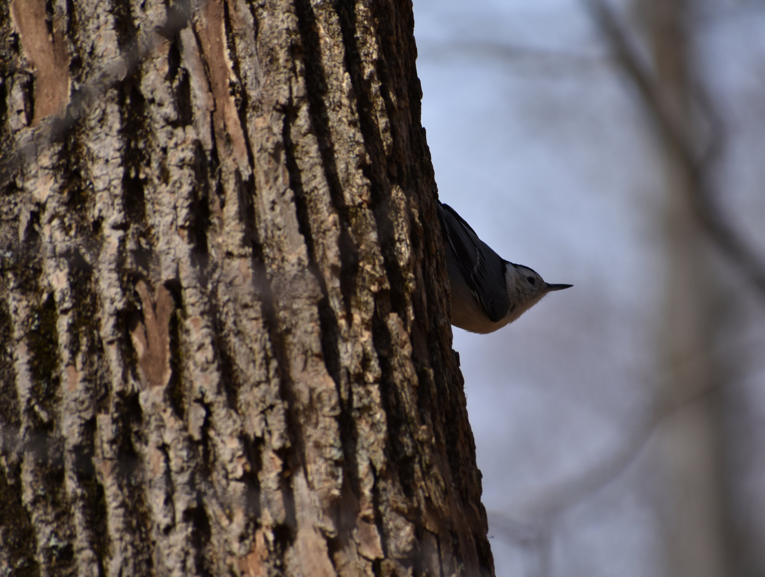 White-Breasted Nuthatch on Ash
