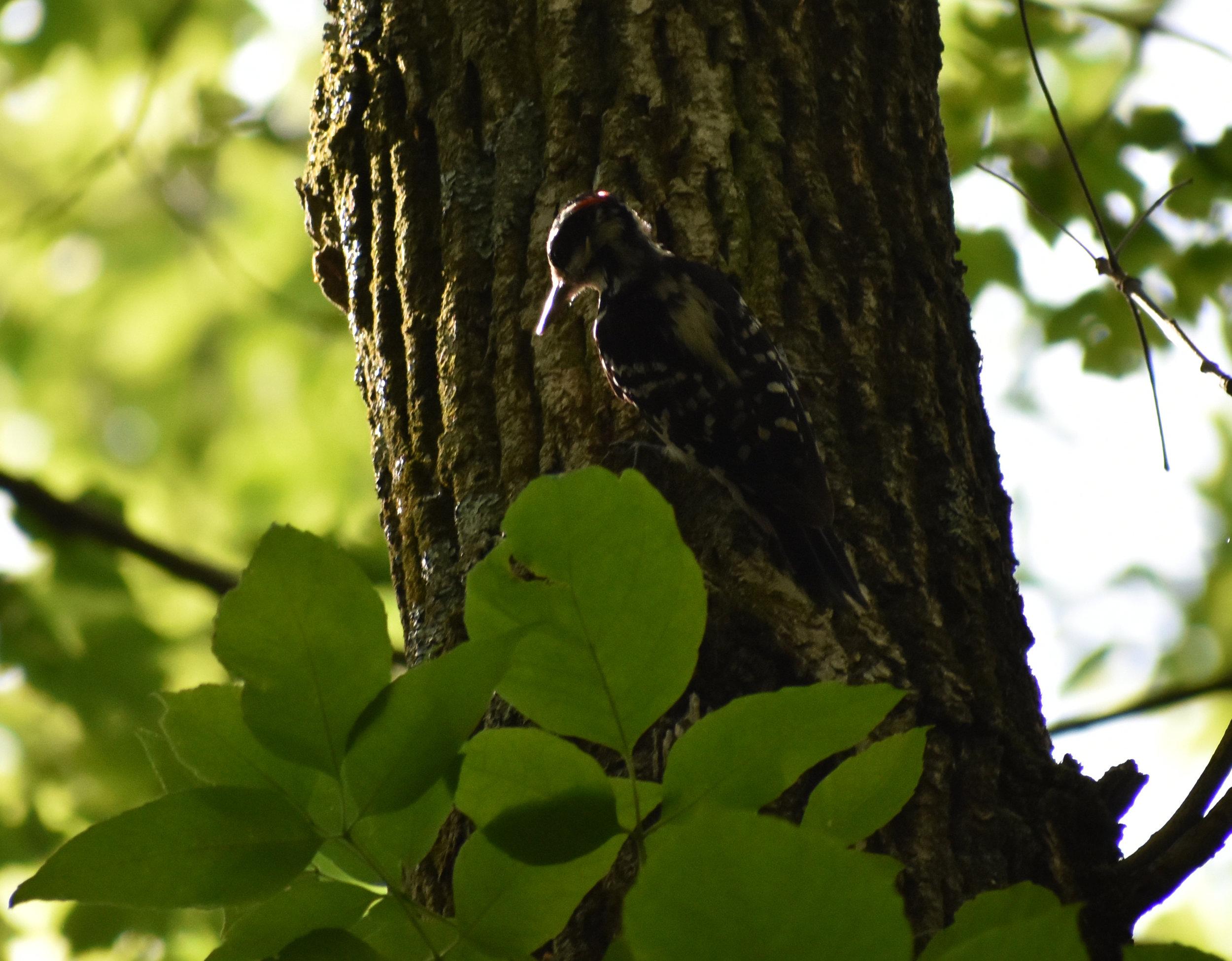 Hairy Woodpecker on Ash