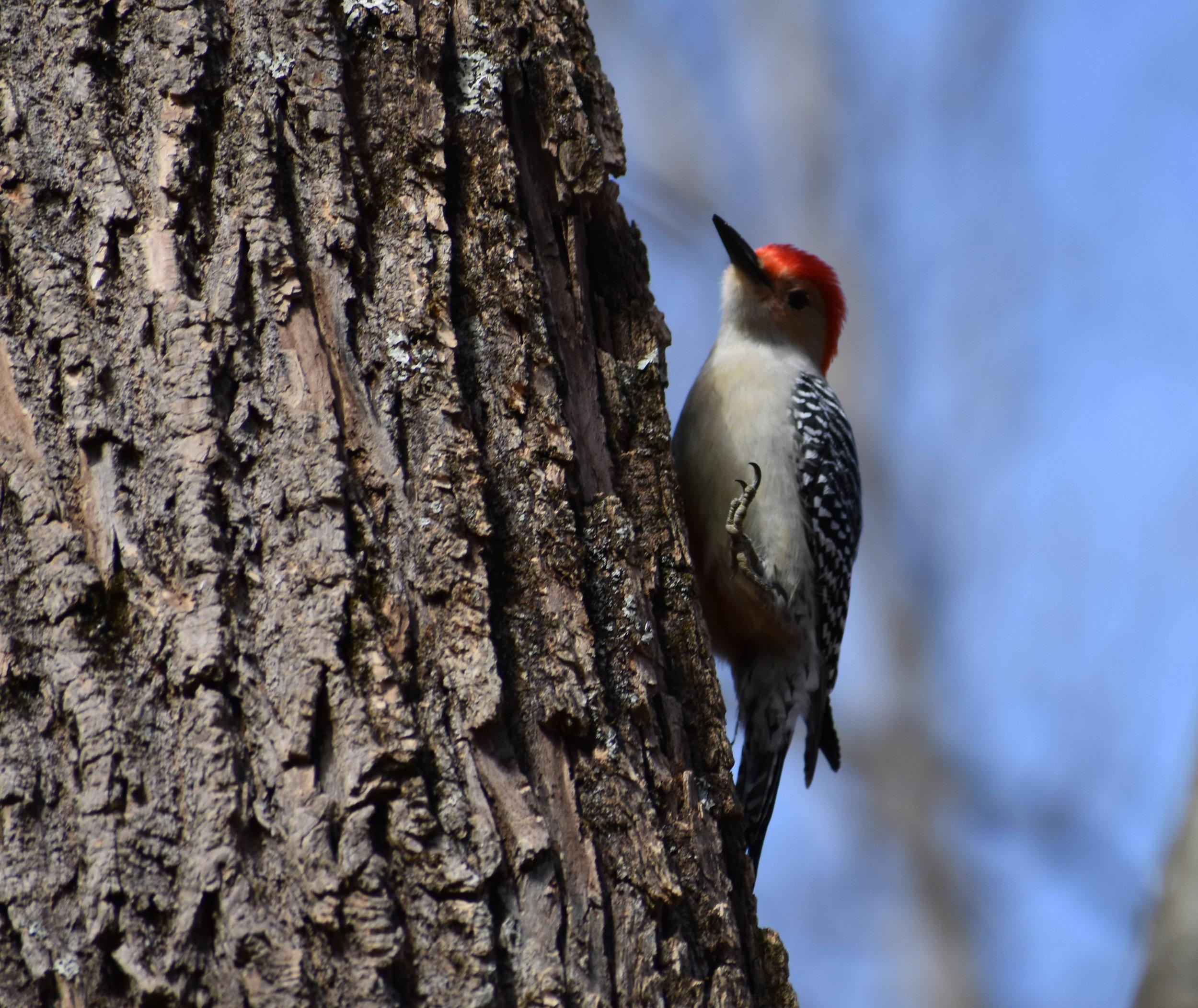 Red-Bellied Woodpecker on Ash