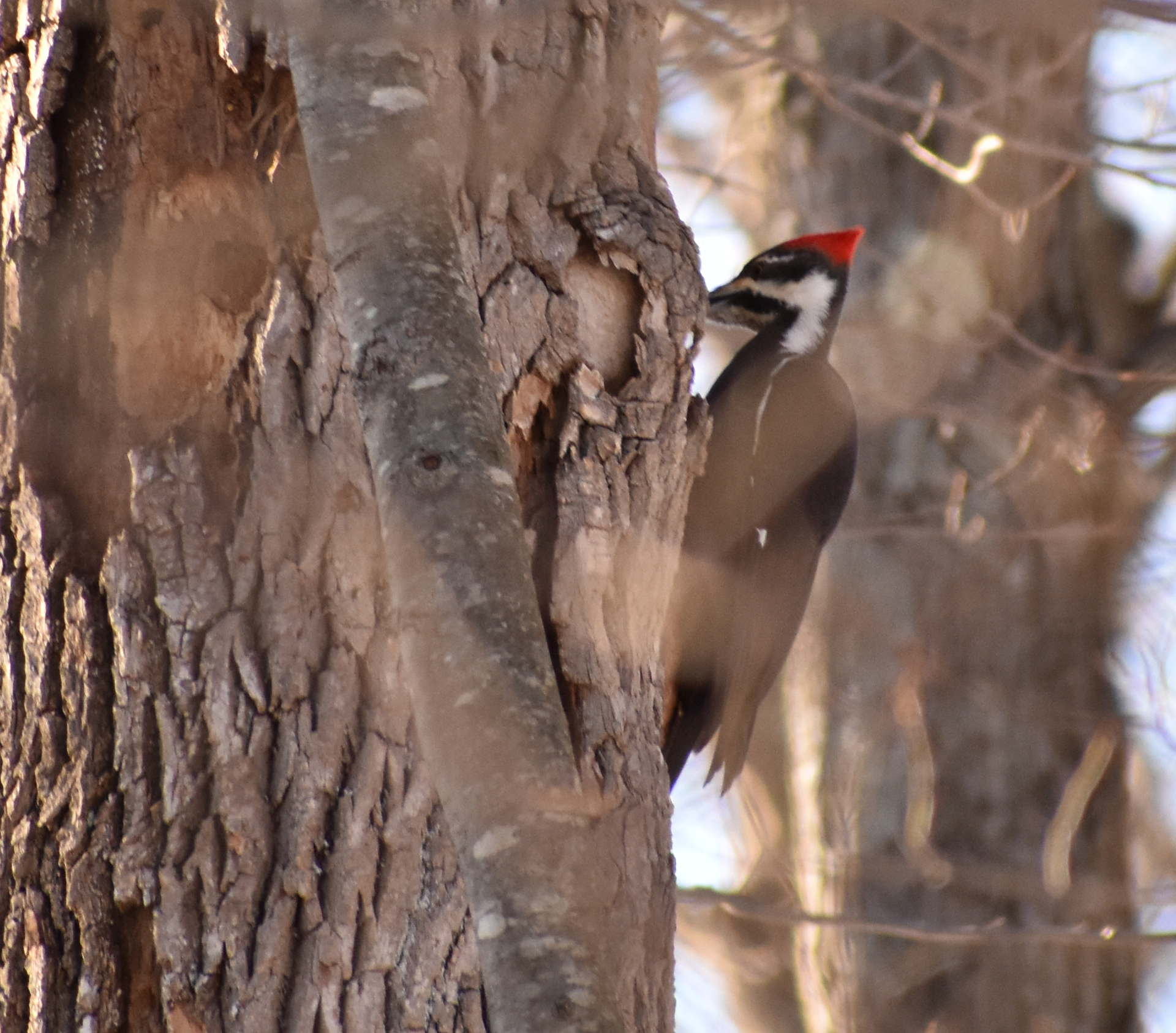 Pileated Woodpecker on Ash