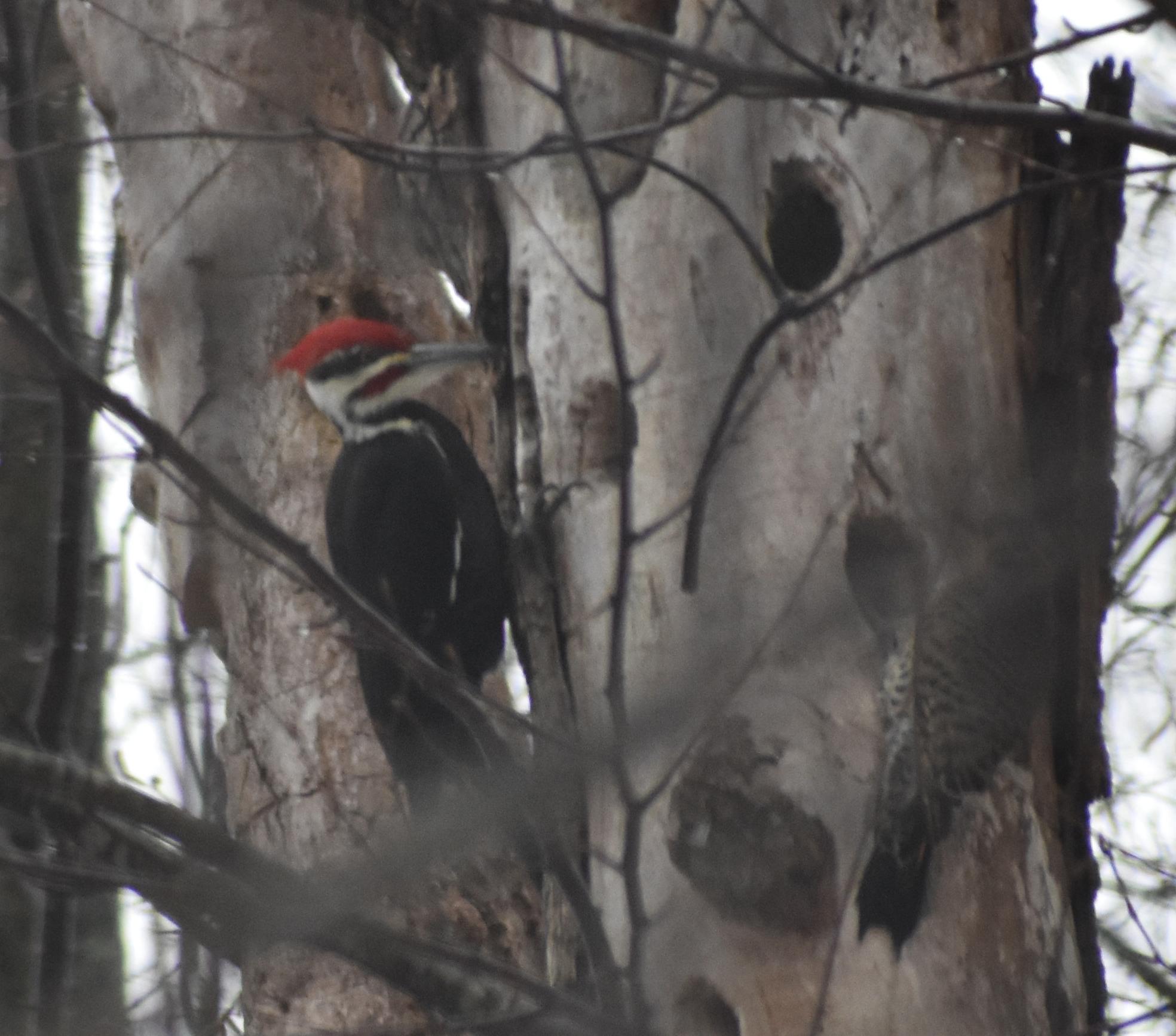 Pileated Woodpecker on dead Ash