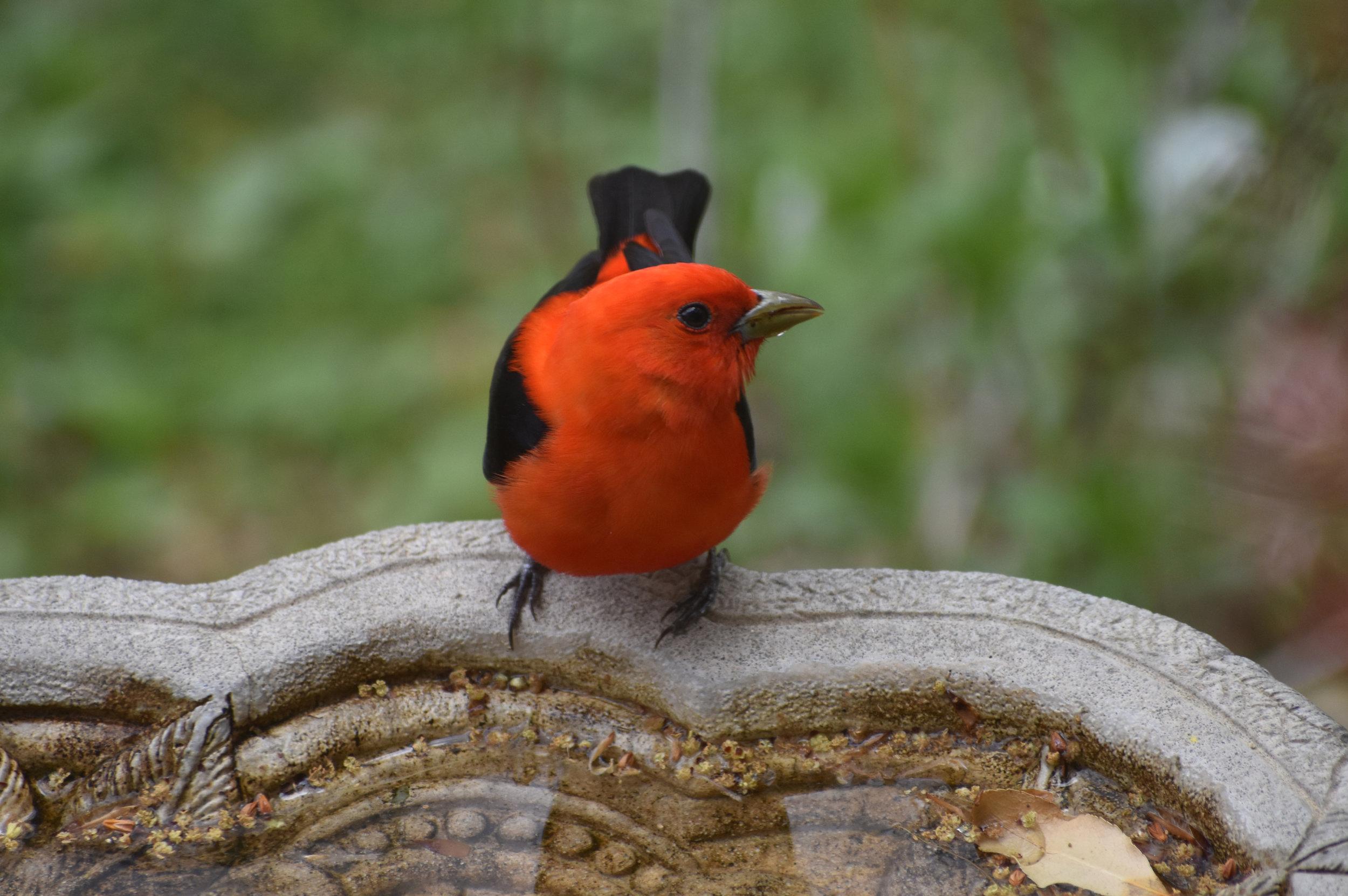 Water: Scarlet Tanager drinking from birdbath