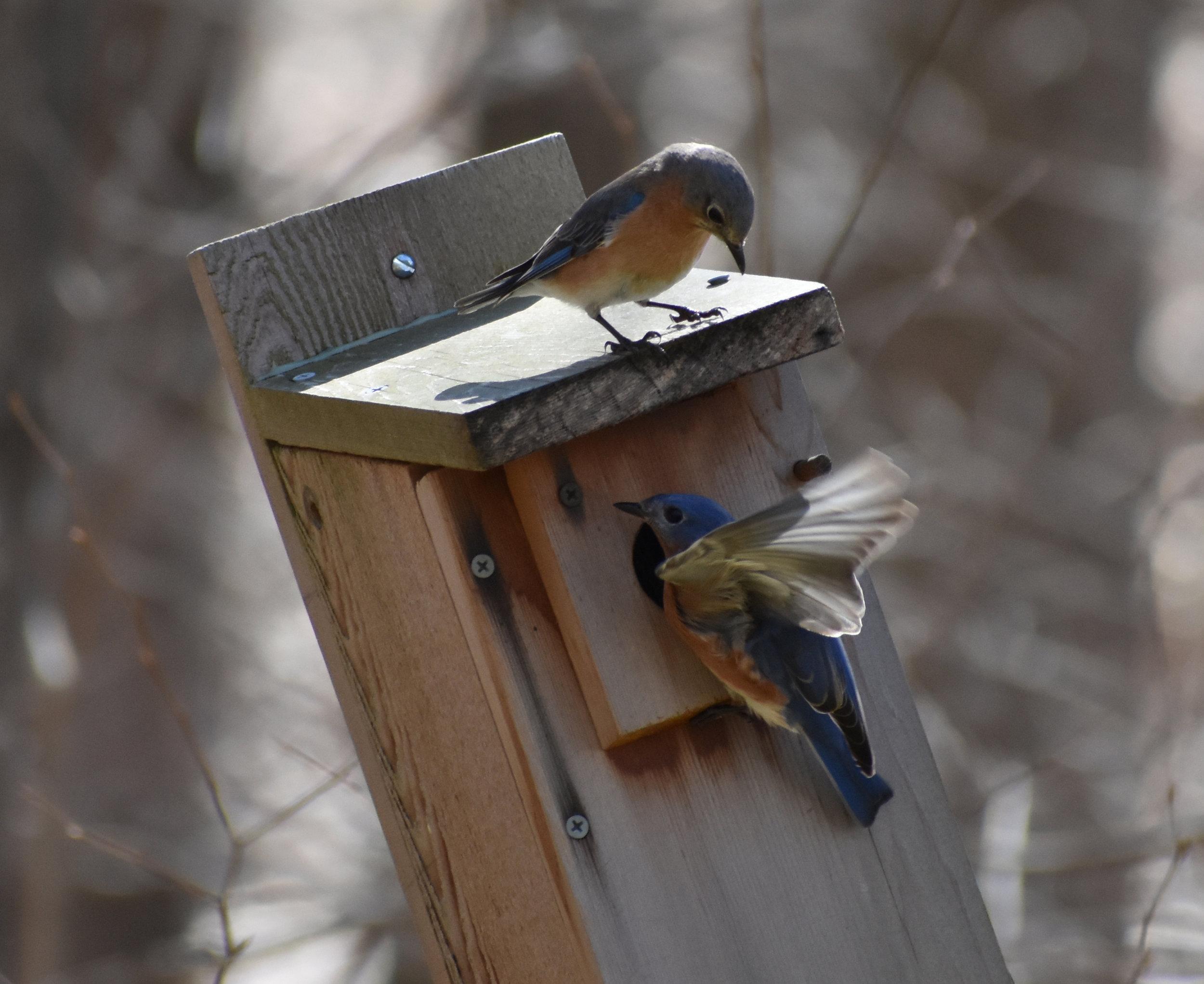 Shelter: Pair of Eastern Bluebird inspecting a nesting box