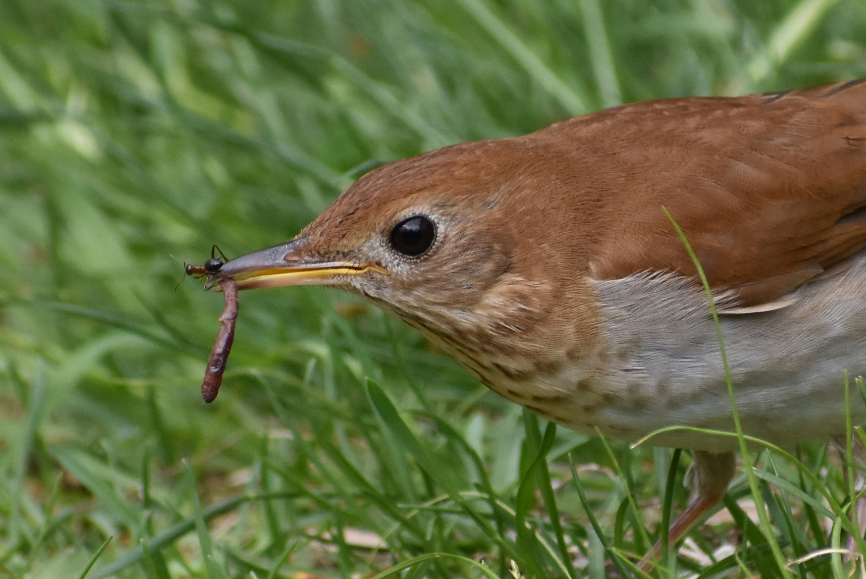 Veery eating an earthworm and an ant?