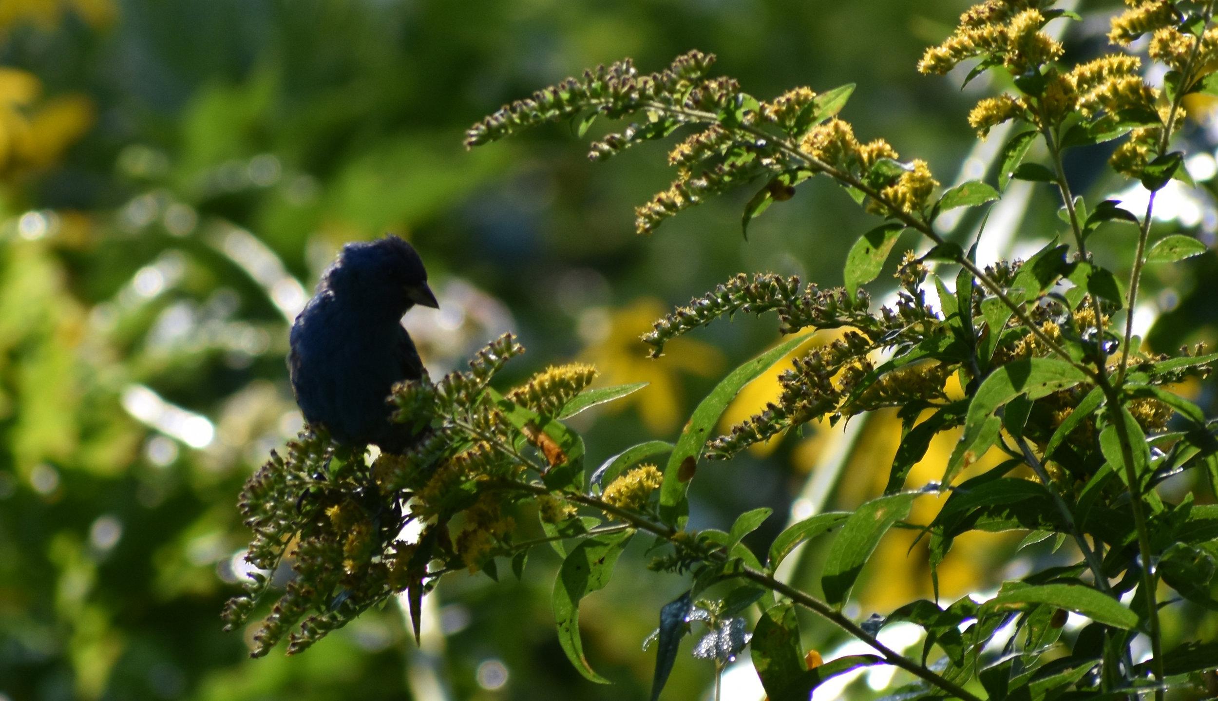 Indigo Bunting eating Goldenrod seeds