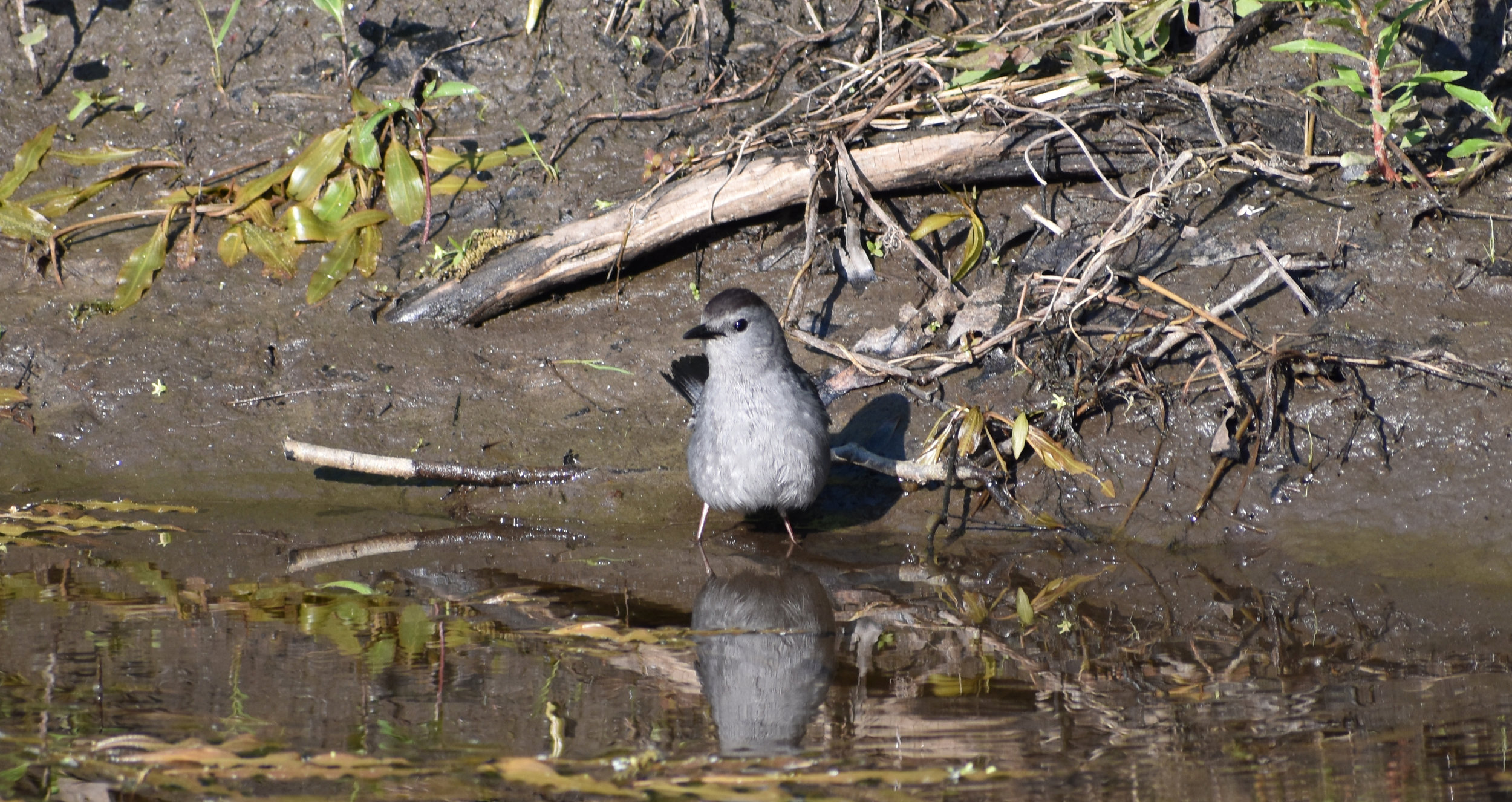 Gray Catbird in Stream