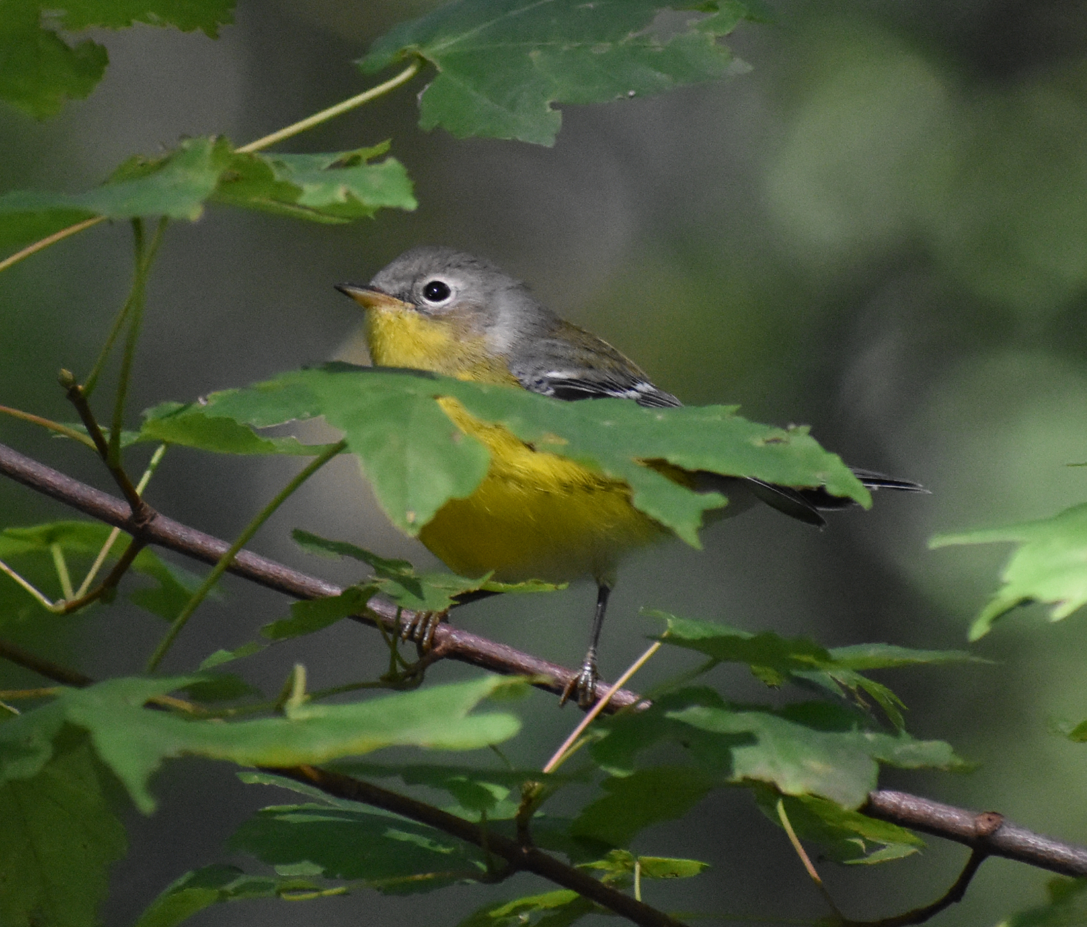 Magnolia Warbler in Red Maple