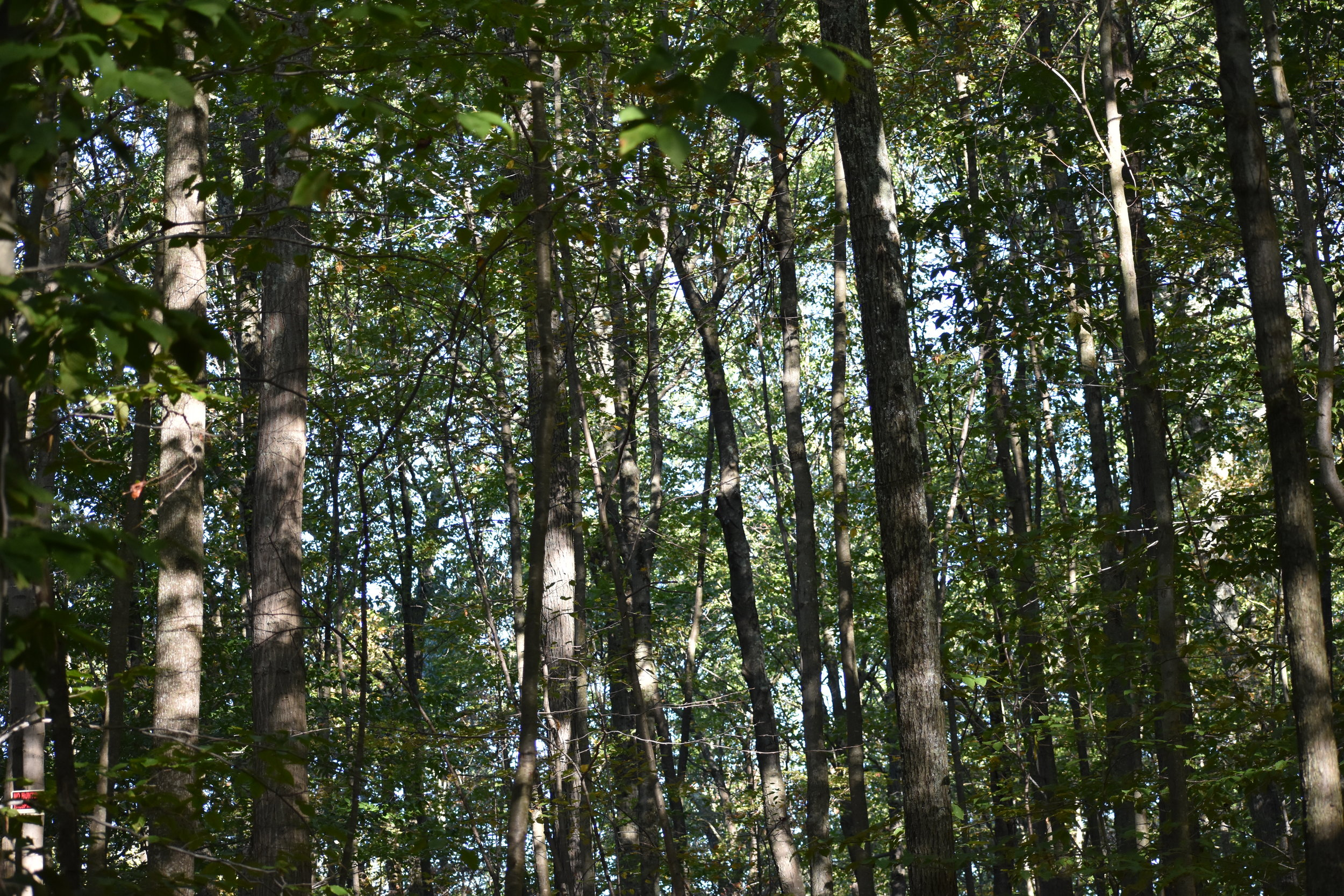 Canopy of Mature Deciduous Forest