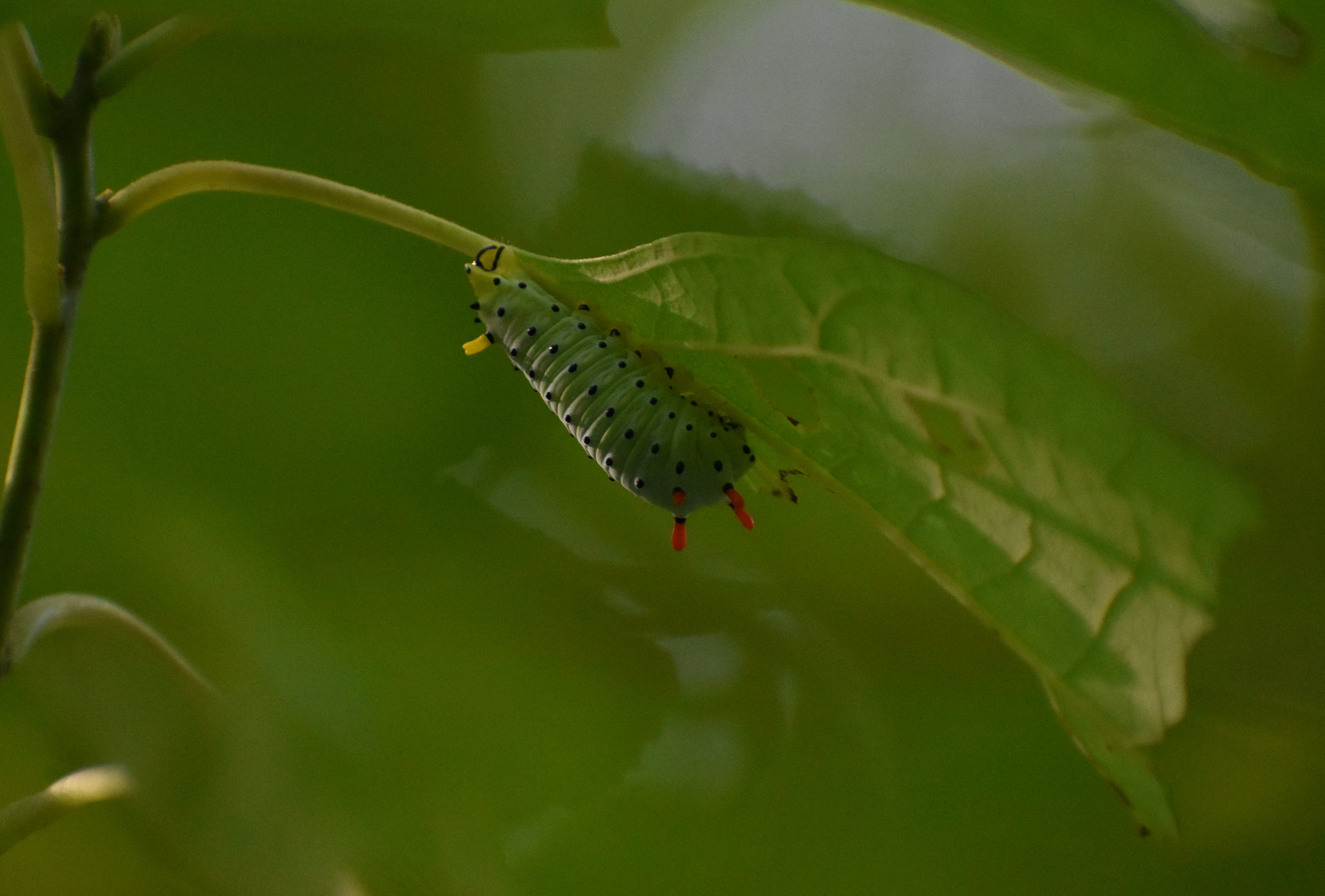 Caterpillar on Sassafras Leaf