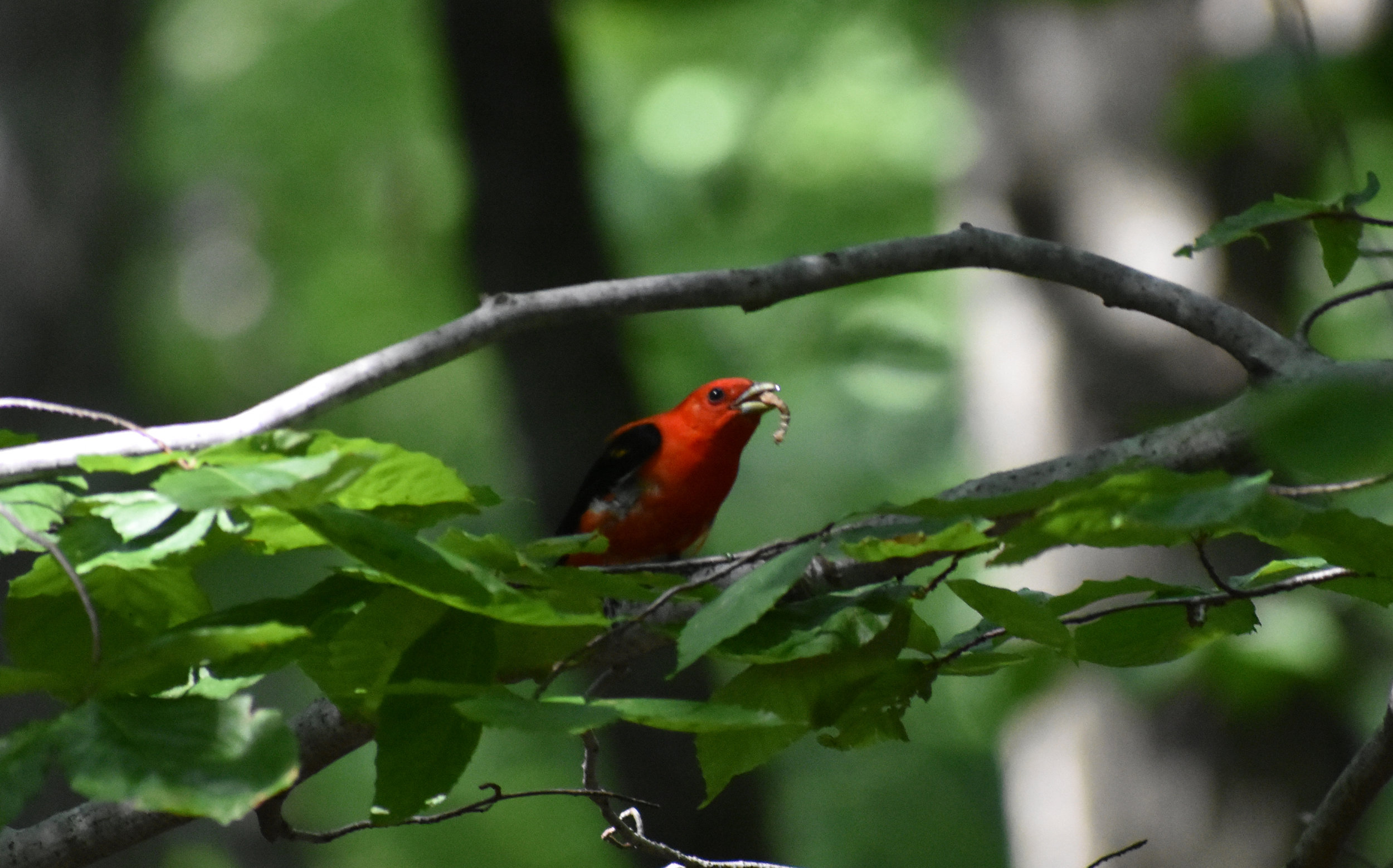 Scarlet Tanager eating insect in American Beech