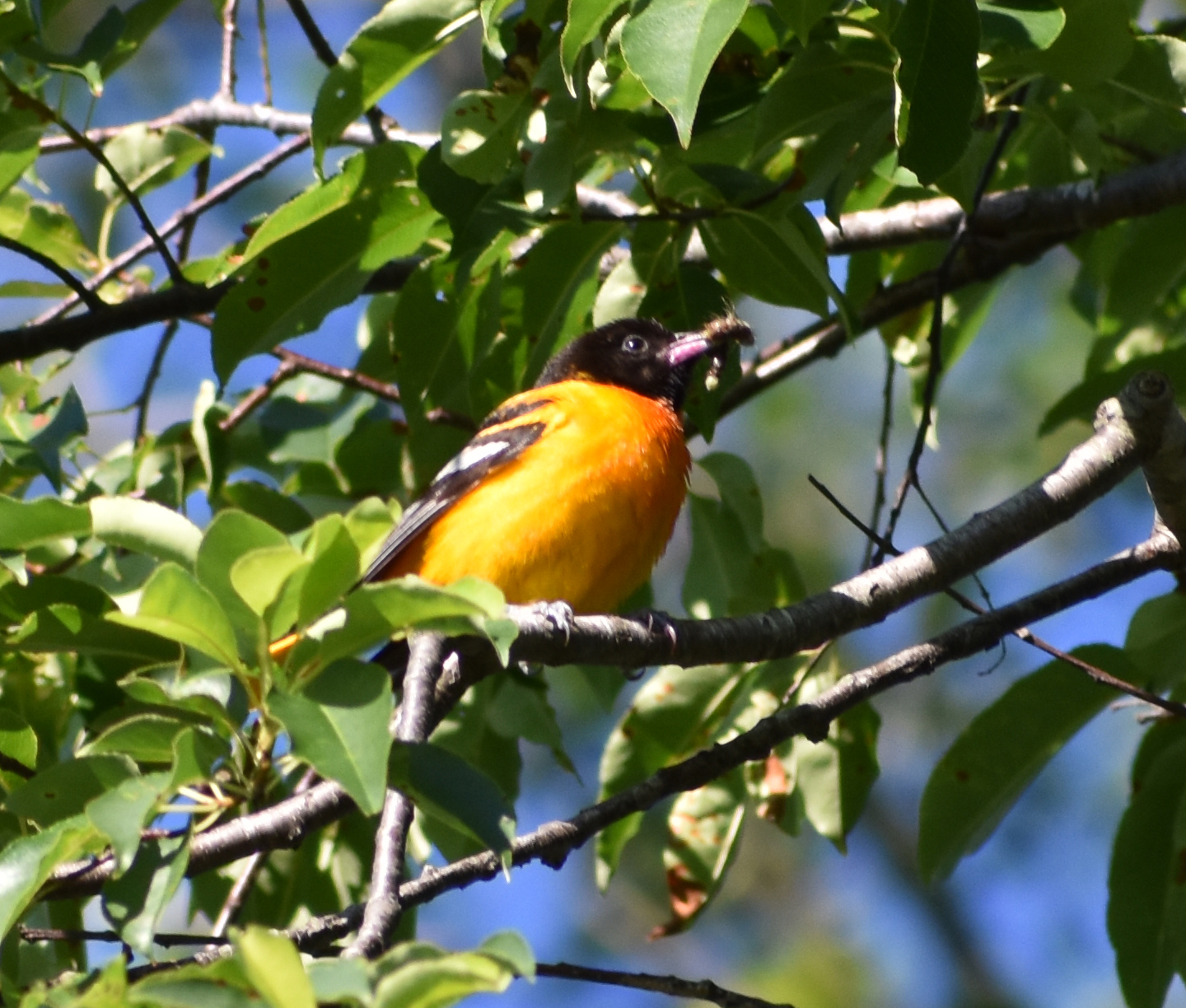 Baltimore Oriole eating caterpillar in Wild Cherry