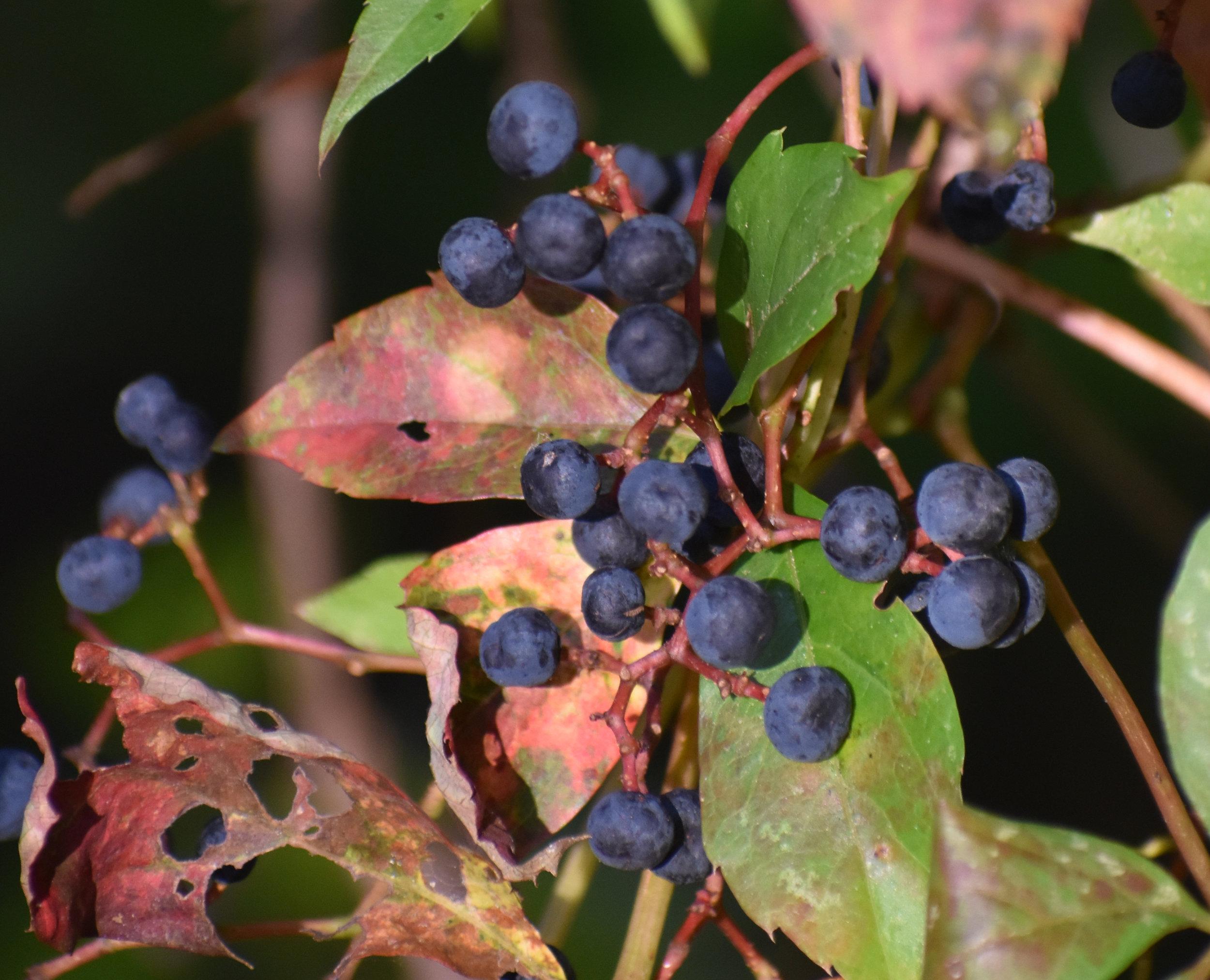 Virginia Creeper Berries attract birds
