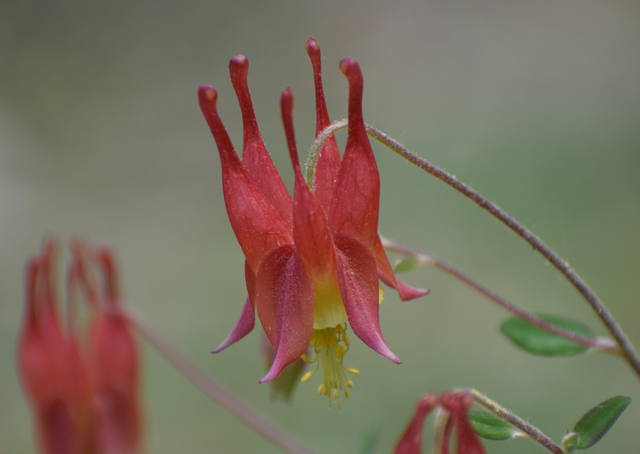 Red Columbine is a red flower that attracts hummingbirds