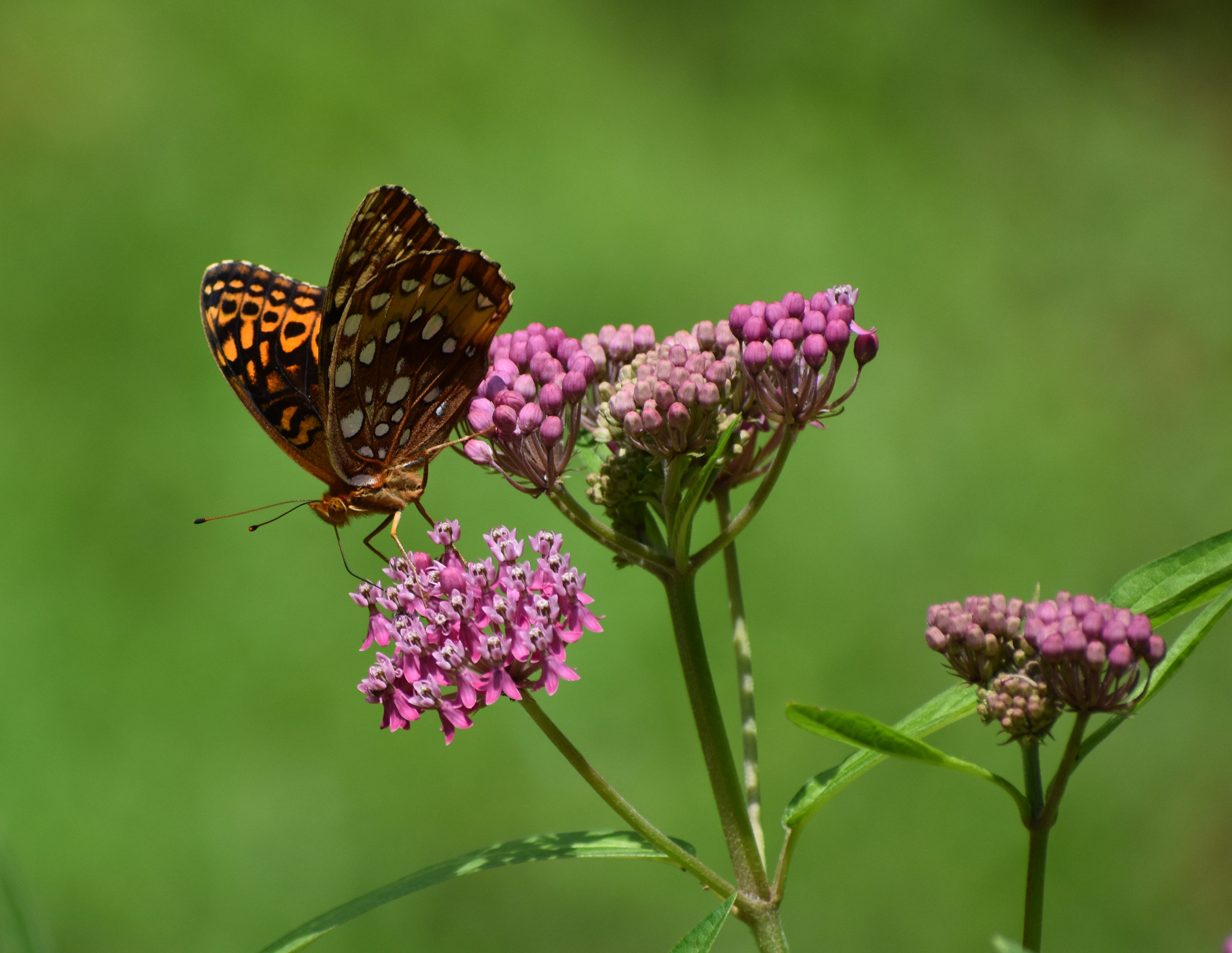 Butterfly on Swamp Milkweed Flower