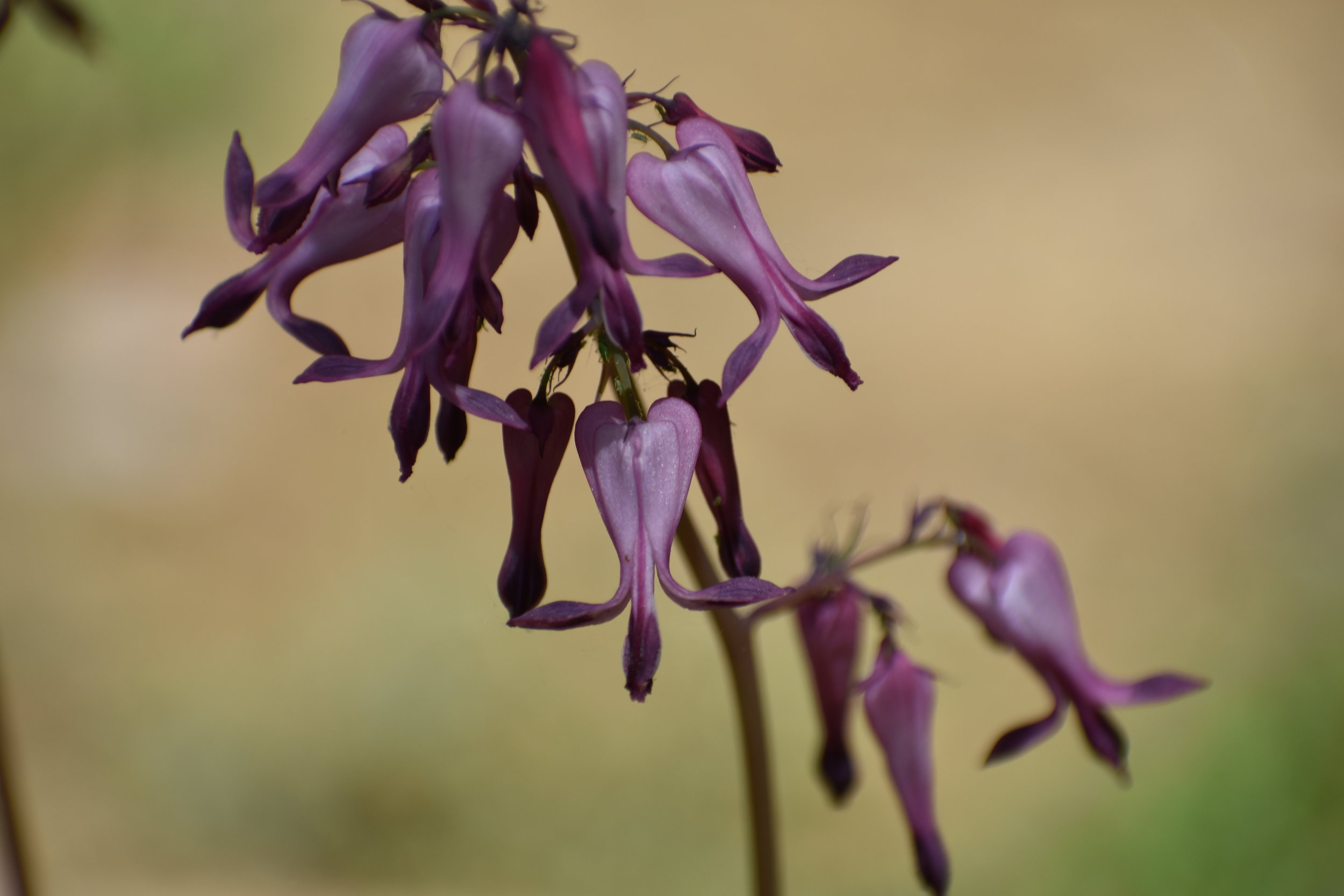Wild Bleeding Heart is a flower that attracts hummingbirds