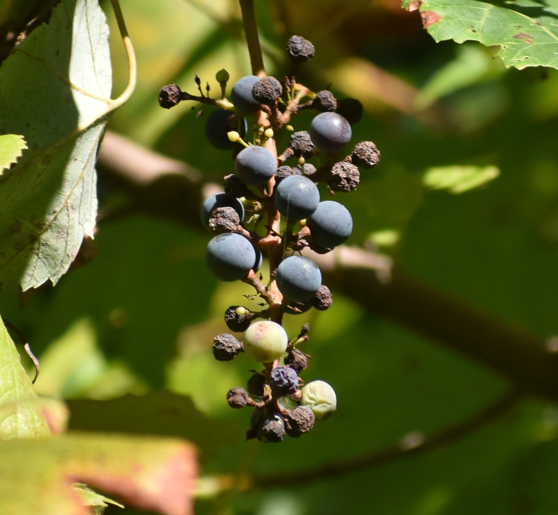 Wild Grape is a plant that attracts birds