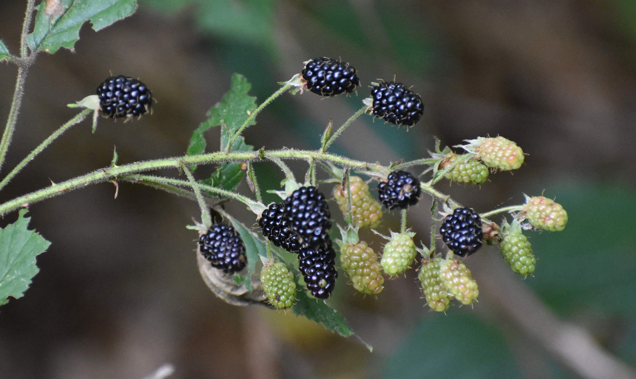 Wild Blackberry is a plant that attracts birds