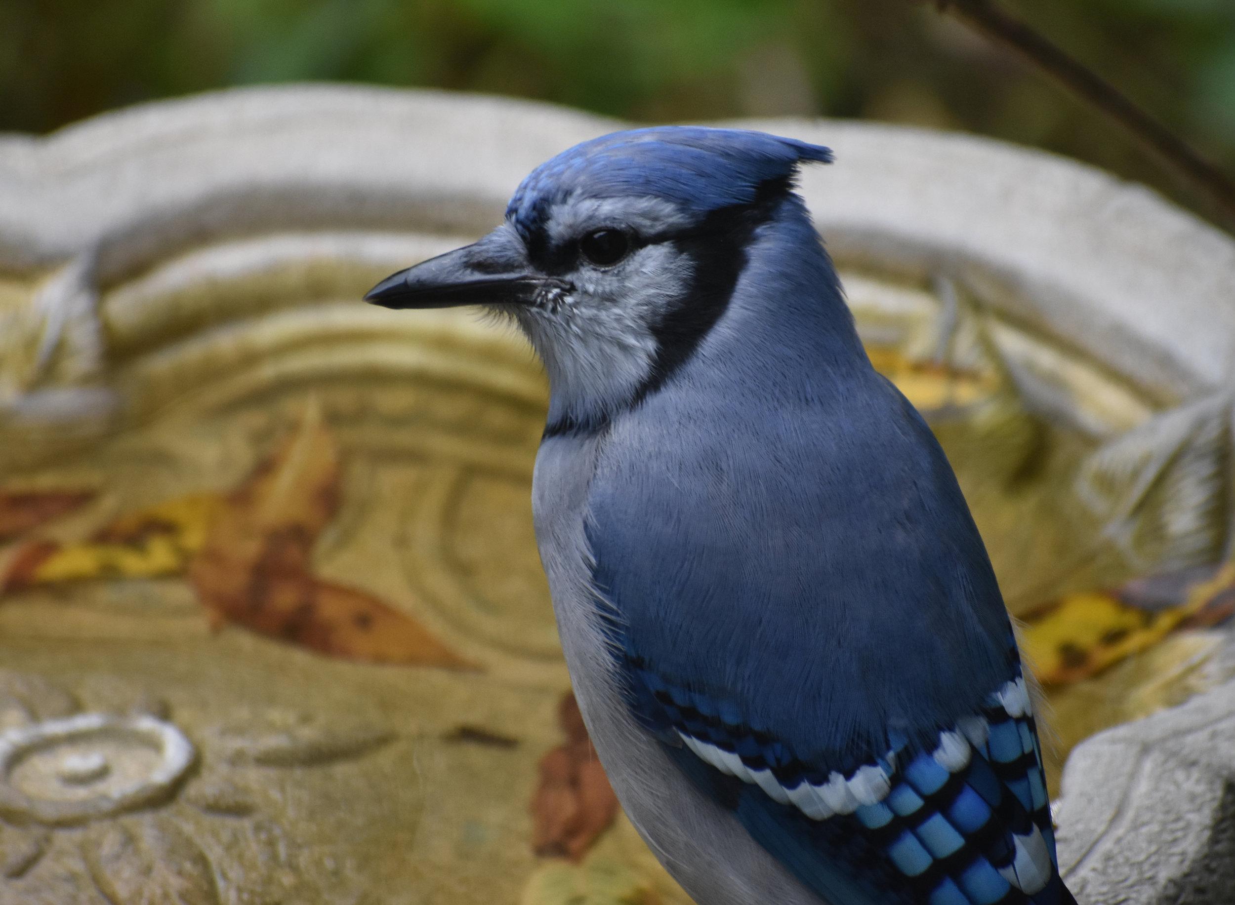 Blue Jay at birdbath