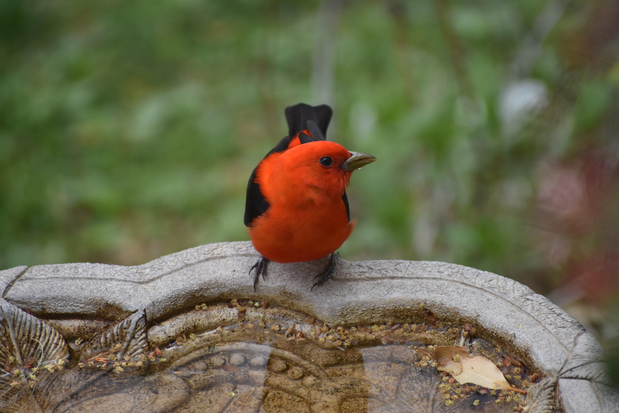 Scarlet Tanager at birdbath