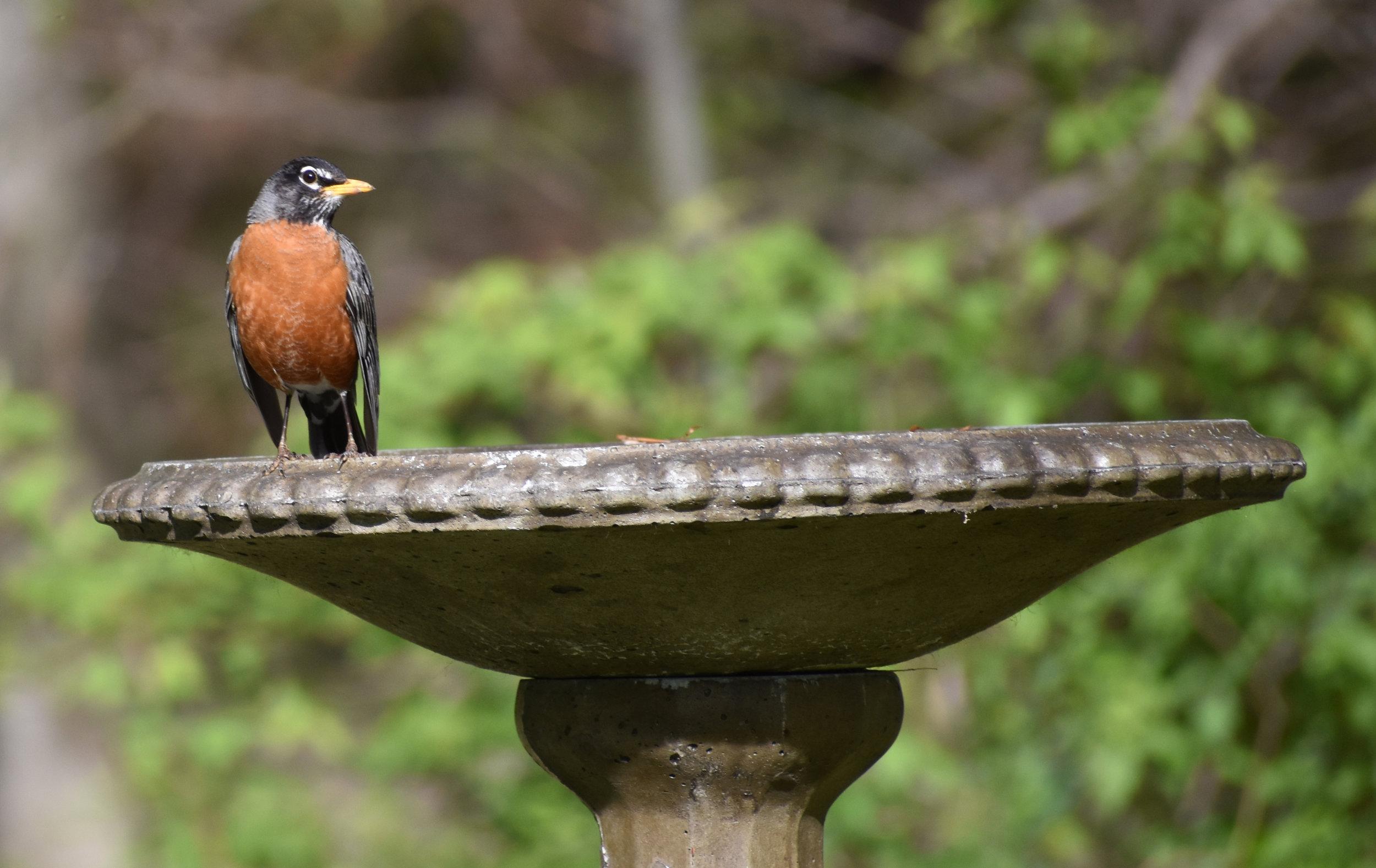American Robin at birdbath