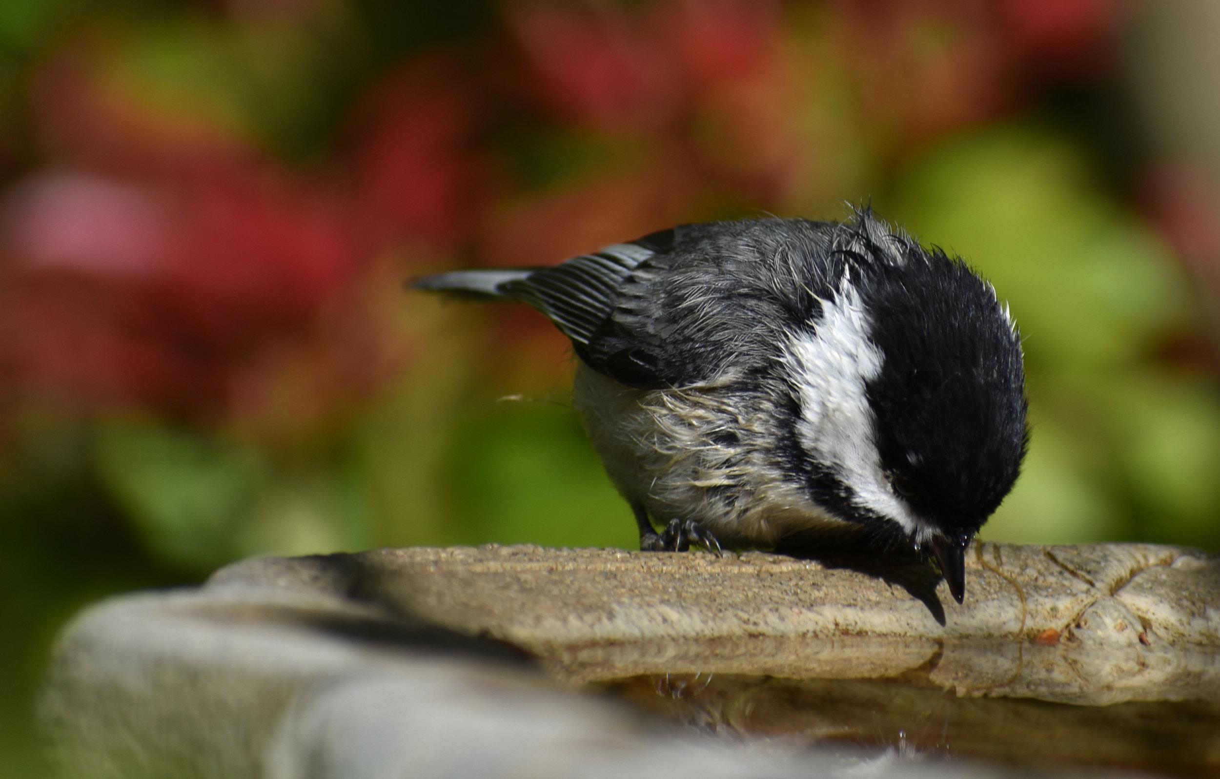 Black-Capped Chickadee drinking from birdbath