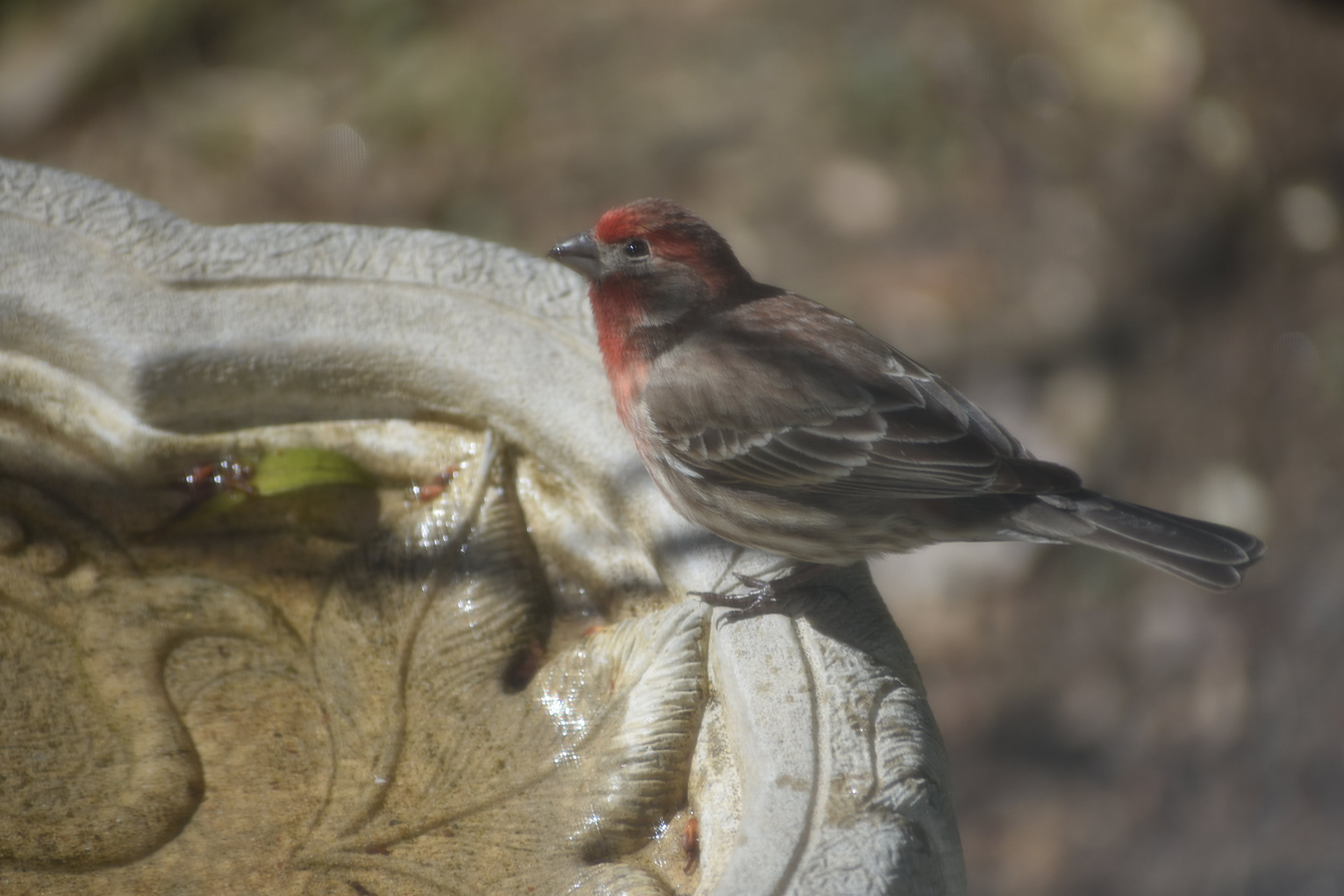 House Finch at birdbath