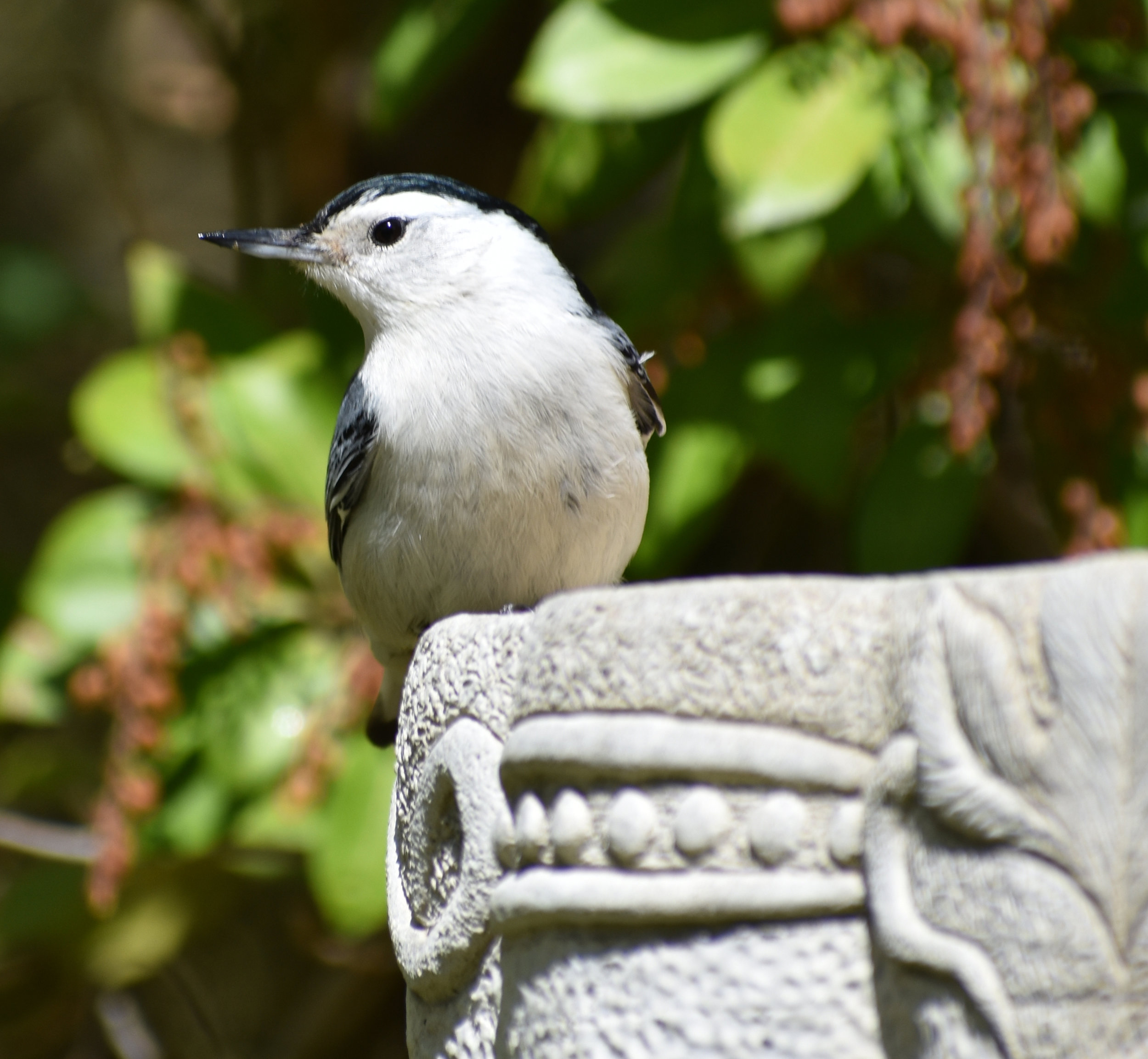 White-Breasted Nuthatch at birdbath