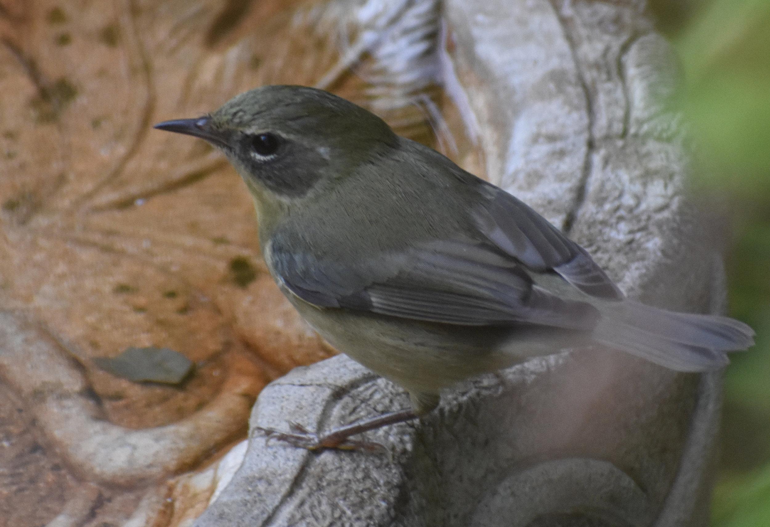 Black-Throated Blue Warbler at birdbath