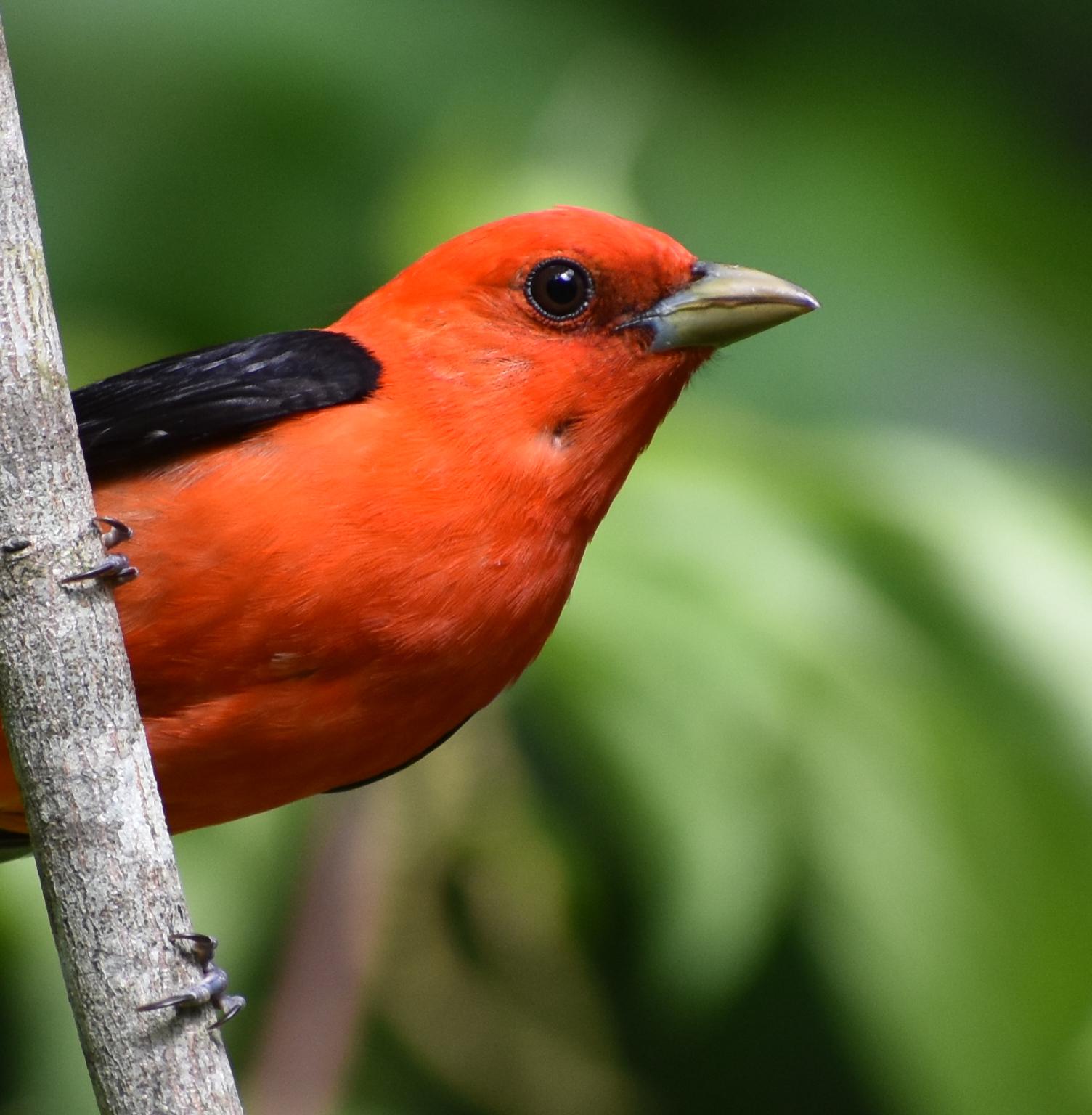 Bird Photography: Scarlet Tanager