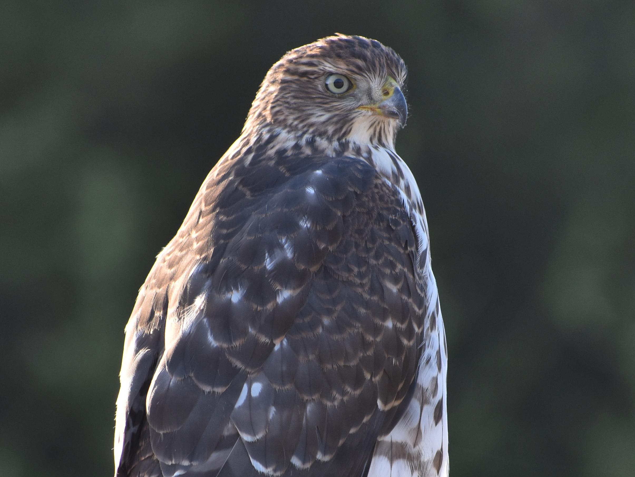 Bird Photography: Cooper's Hawk