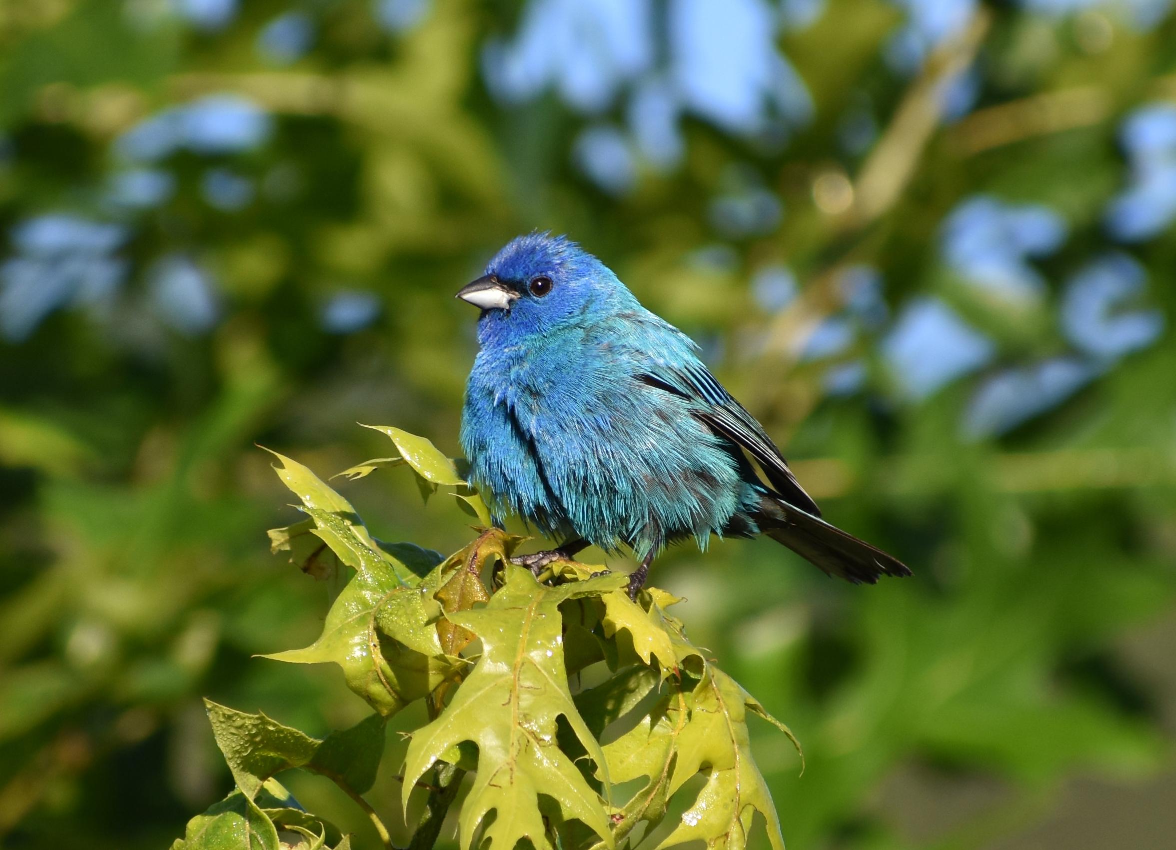 Bird Photography: Indigo Bunting