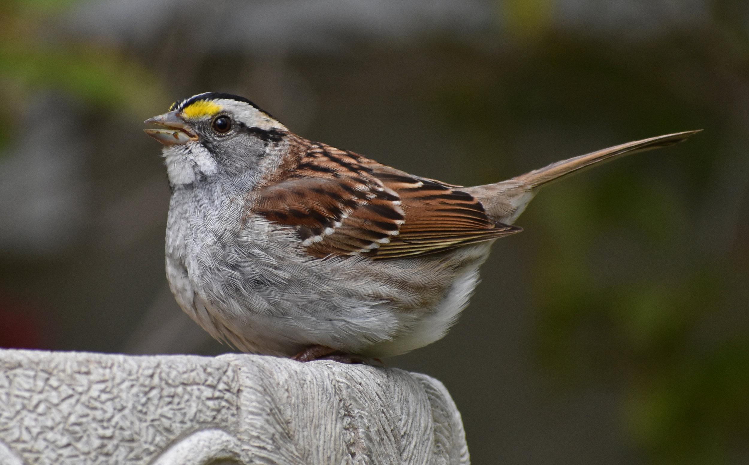 White-Throated Sparrow on Birdbath
