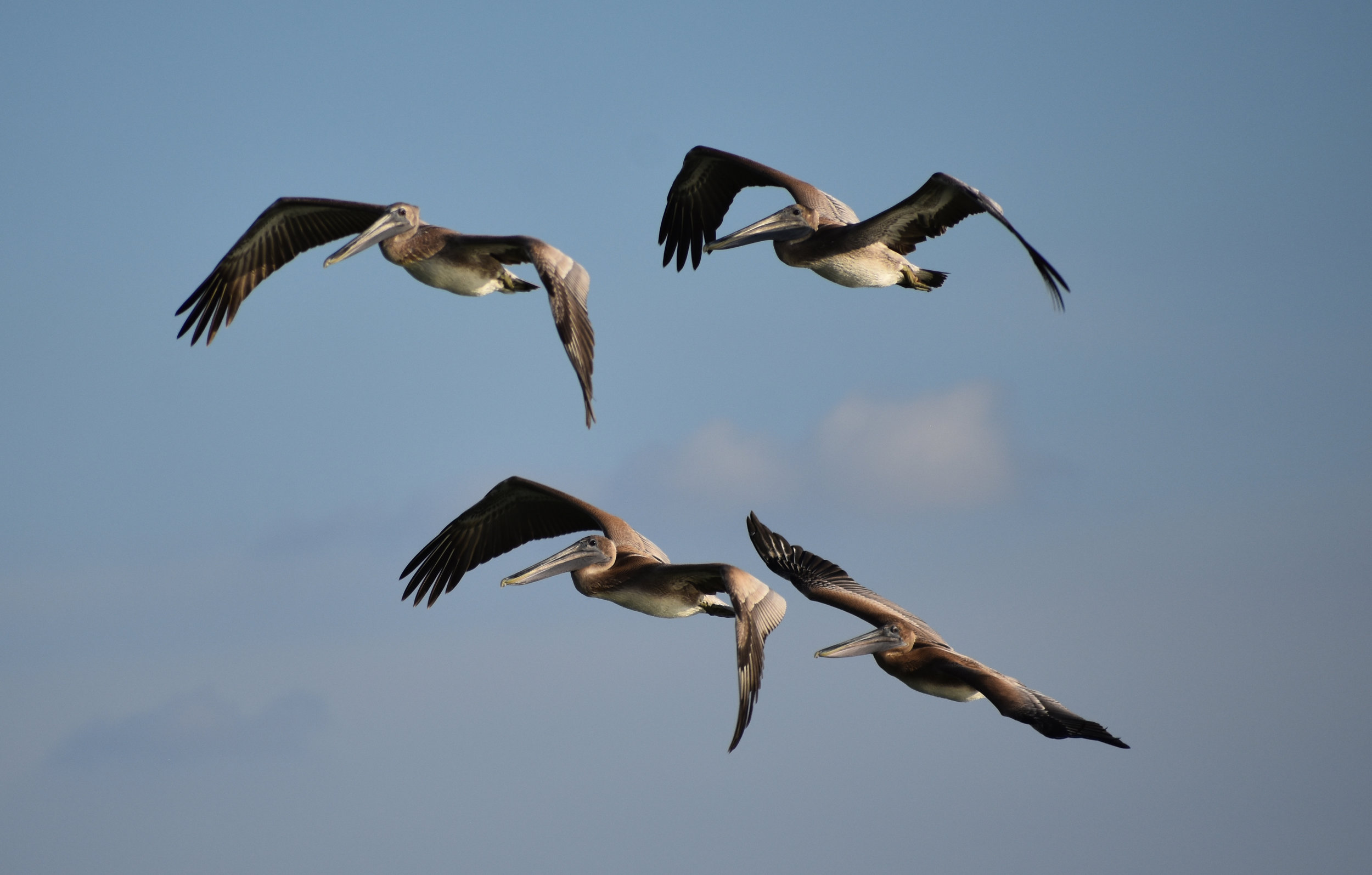 Photographing Brown Pelican