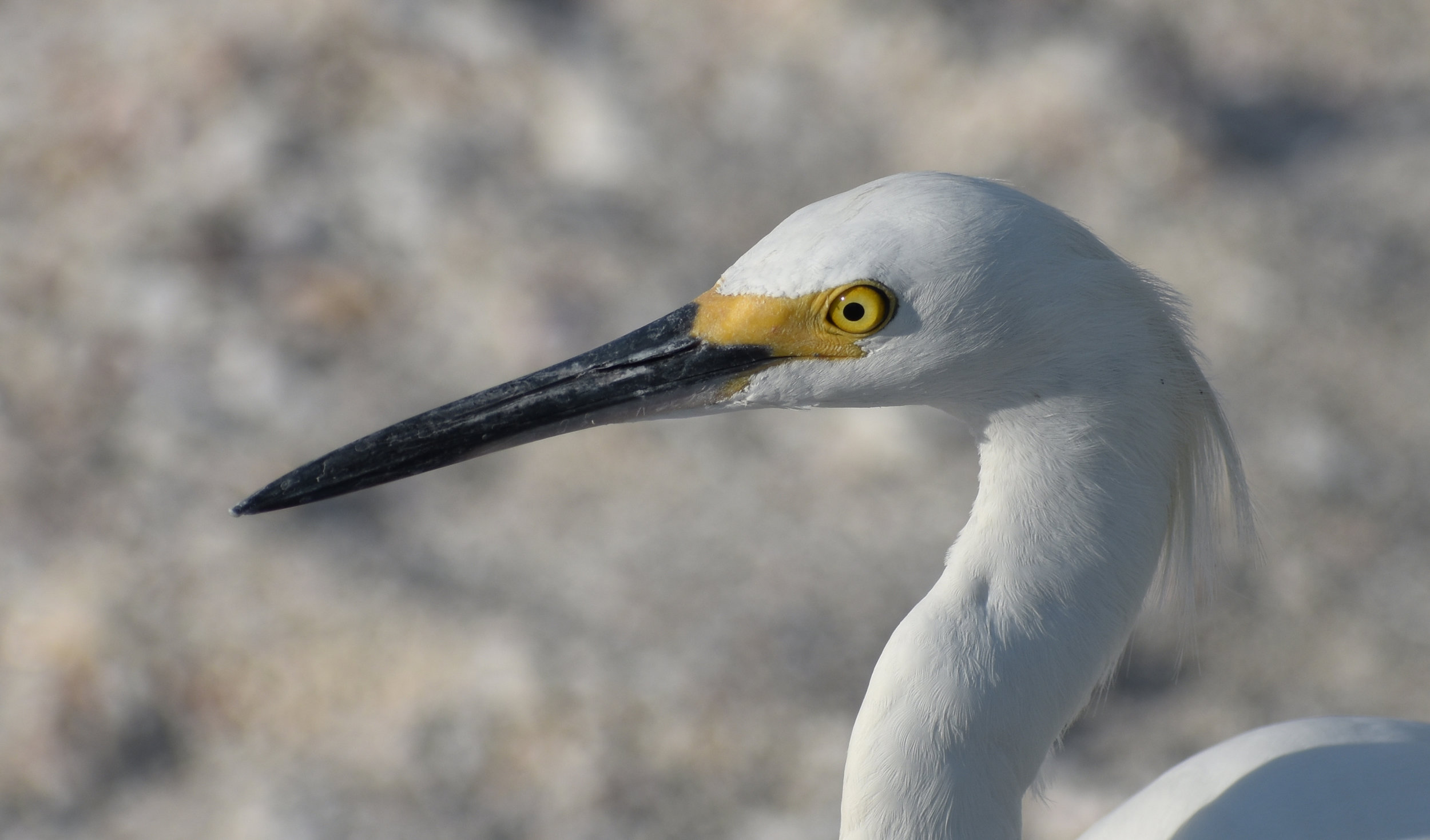 Bird Photography Composition: Snowy Egret