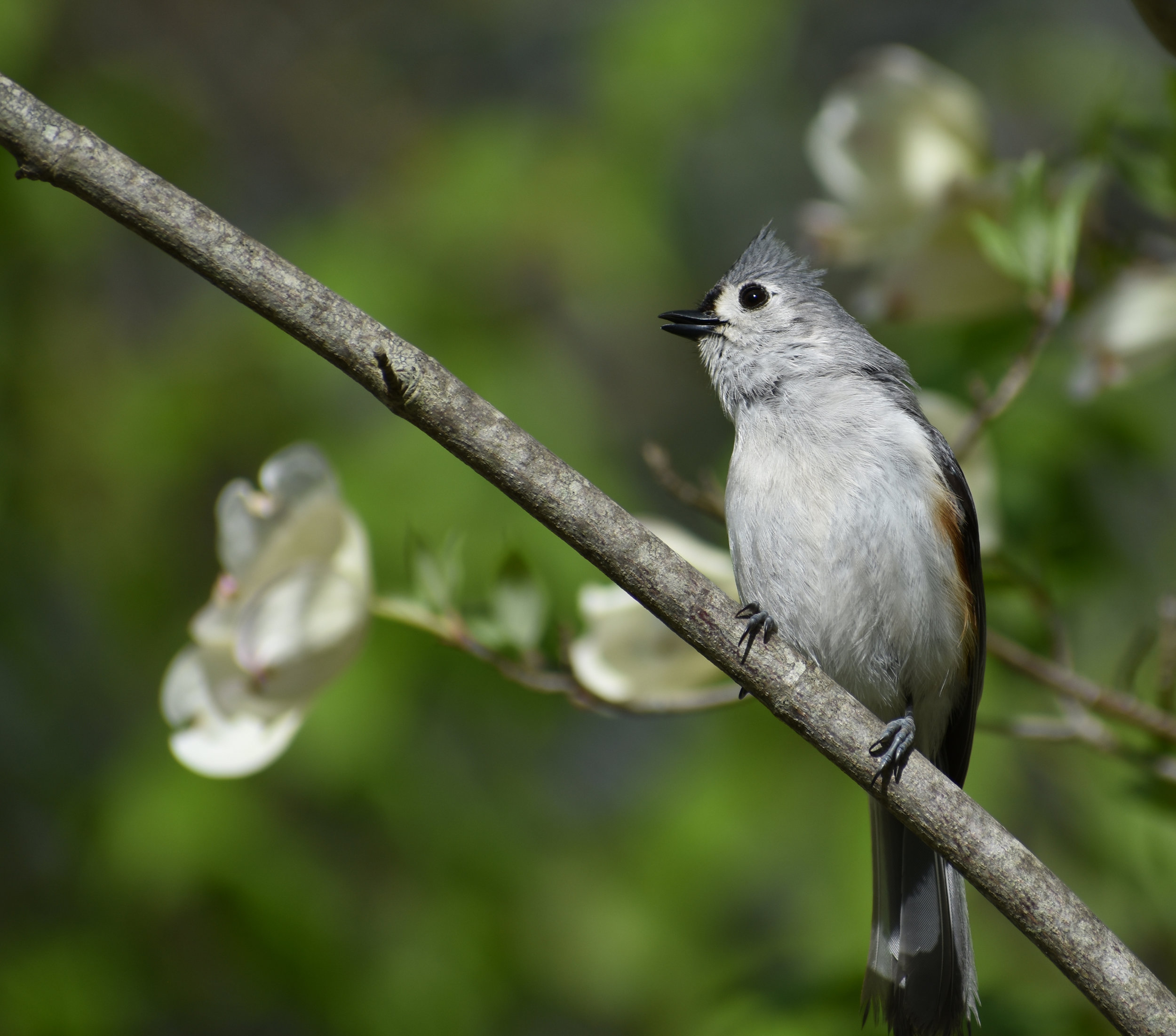 Bird Photography Background: Tufted Titmouse