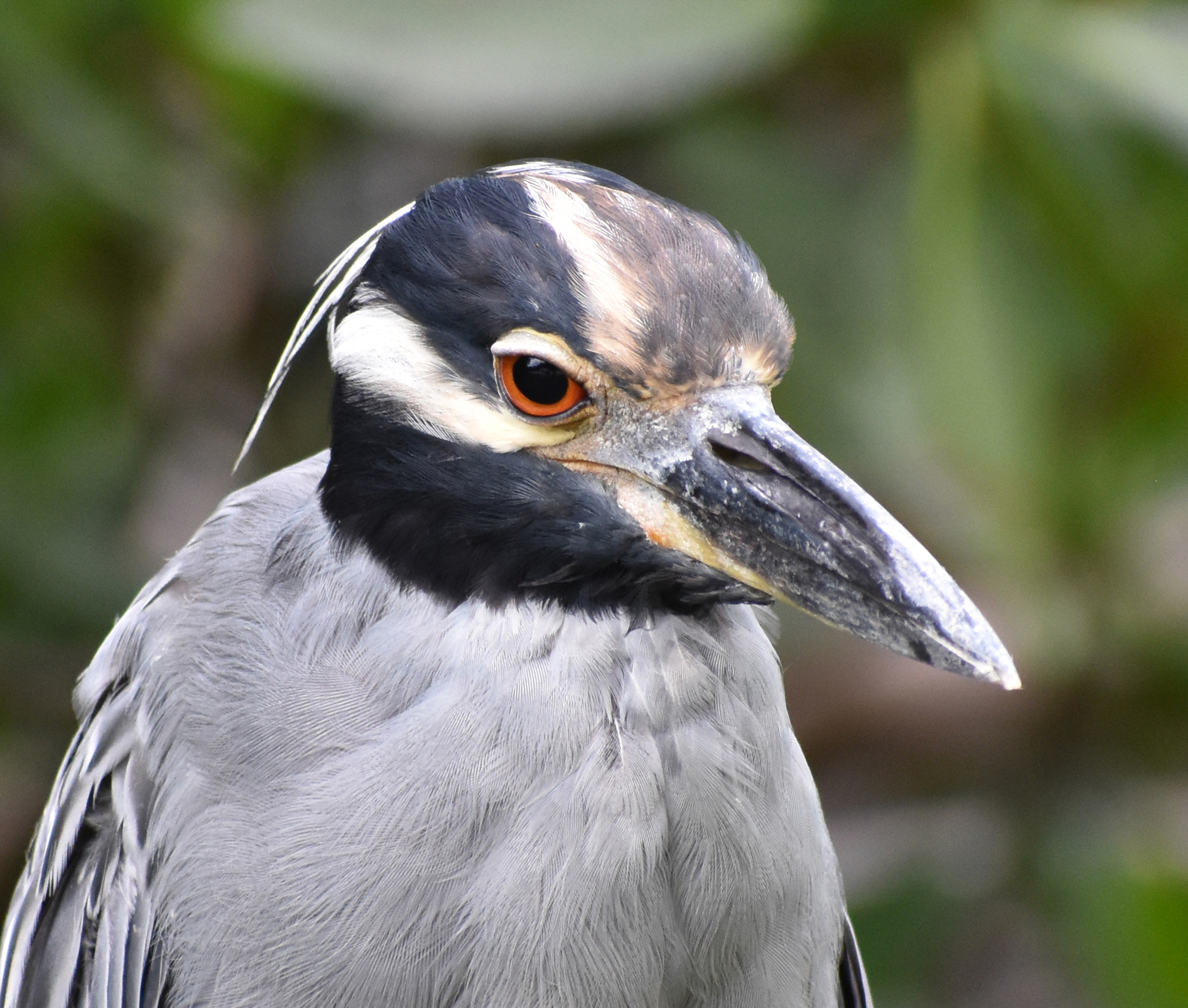 Bird Photography Composition: Yellow-Crowned Night Heron