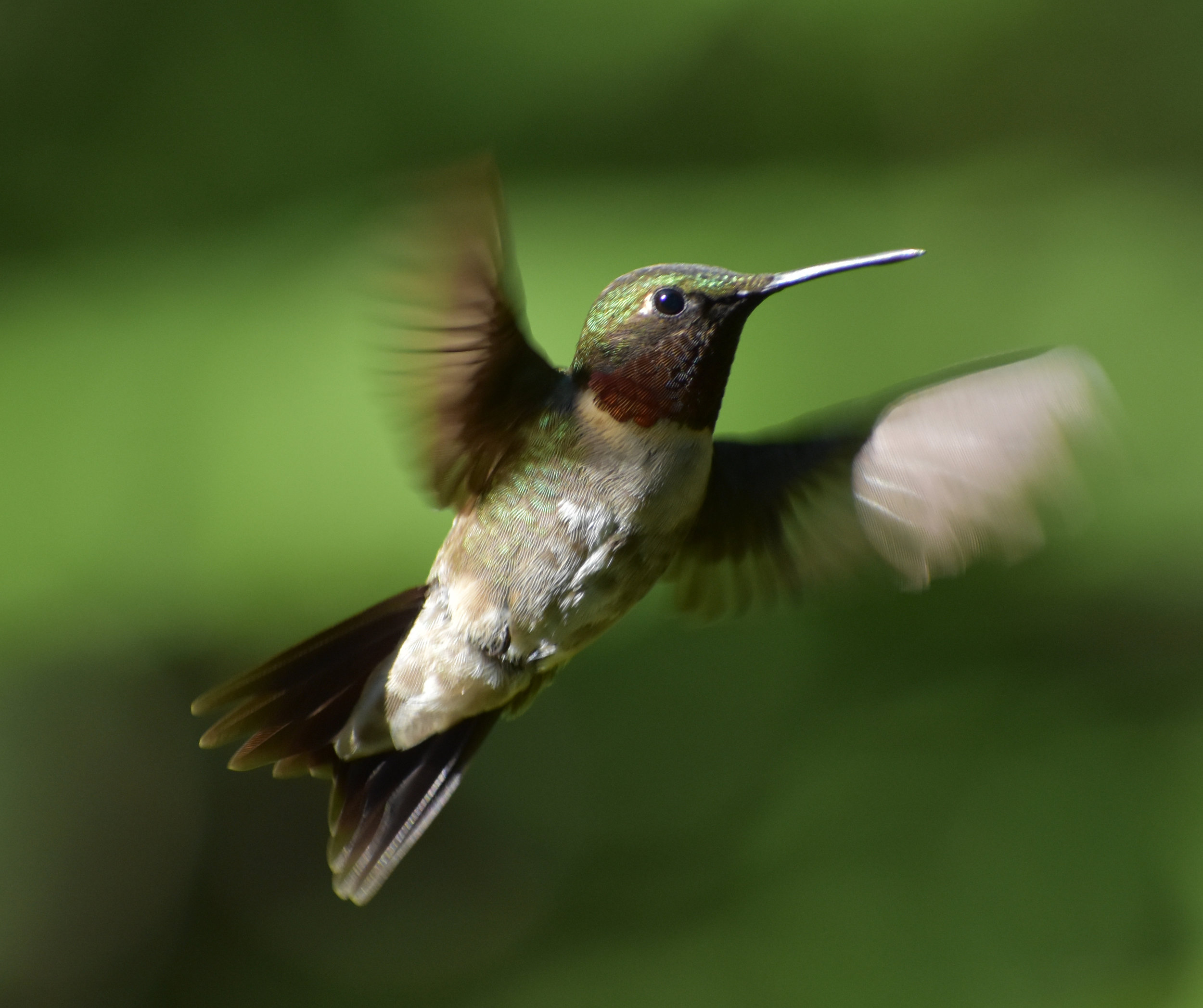 Bird Photography Composition: Ruby-Throated Hummingbird