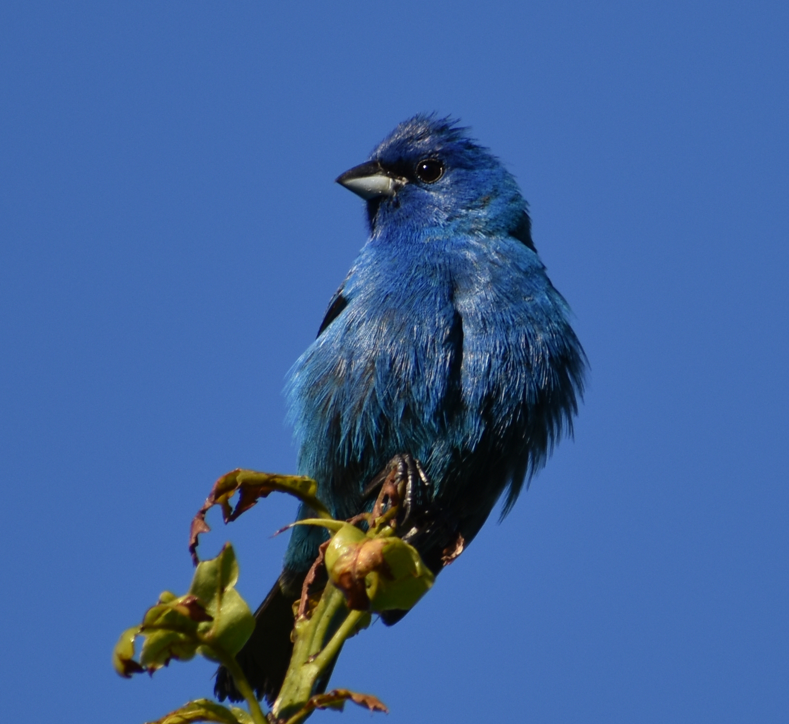 I want to find an Indigo Bunting?