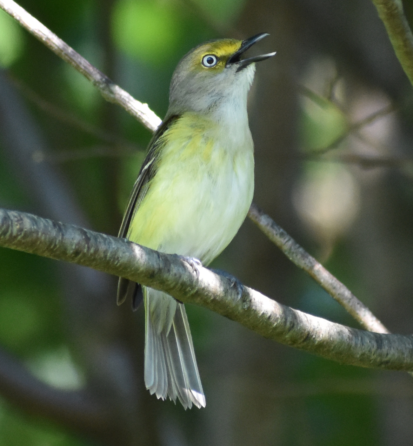 I want to find a White-Eyed-Vireo?