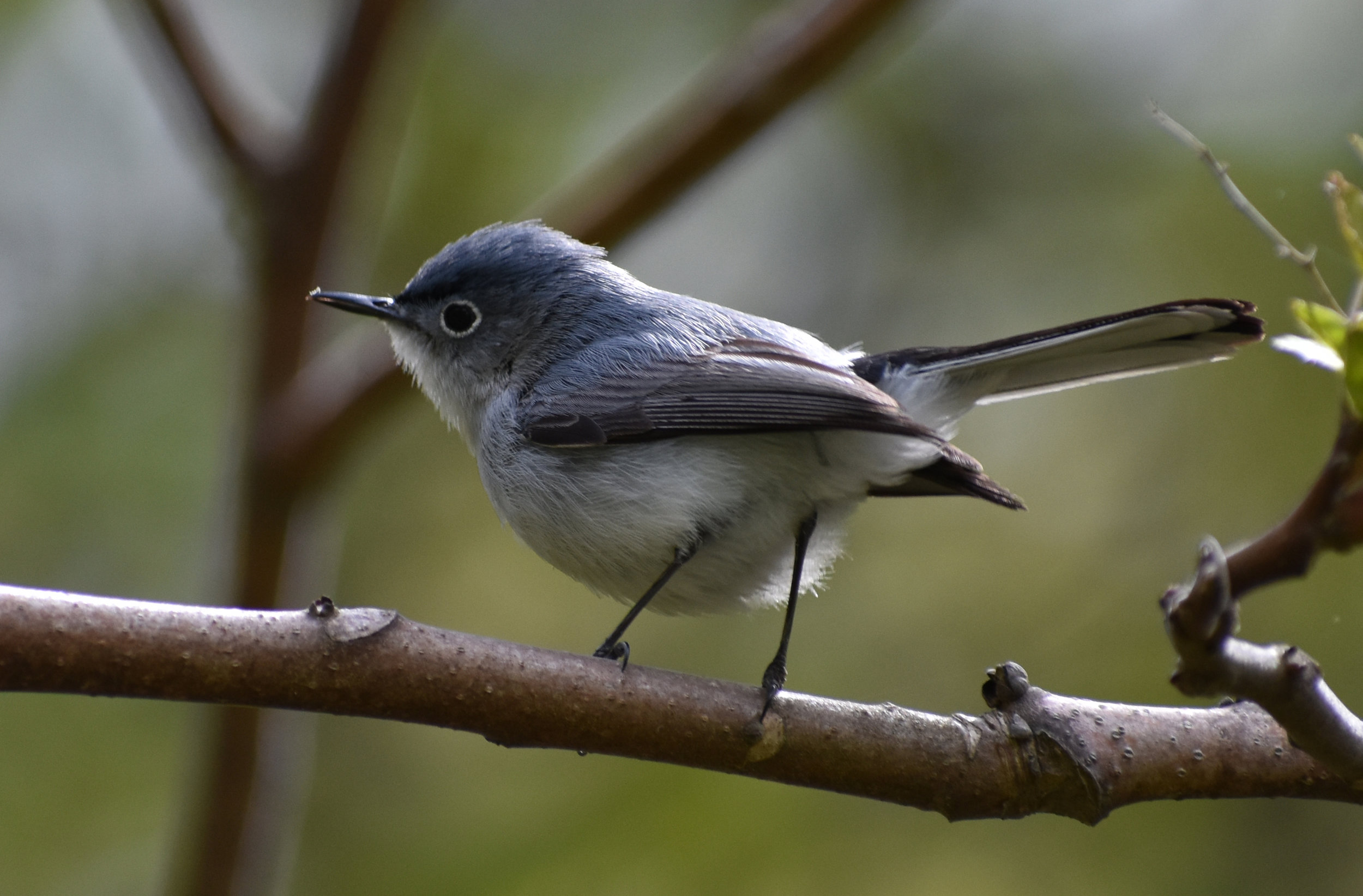 I want to find a Blue Gray Gnatcatcher?