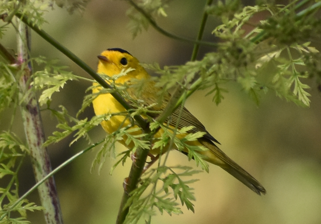 Warblers are most commonly sighted in the morning over spring and fall migration.